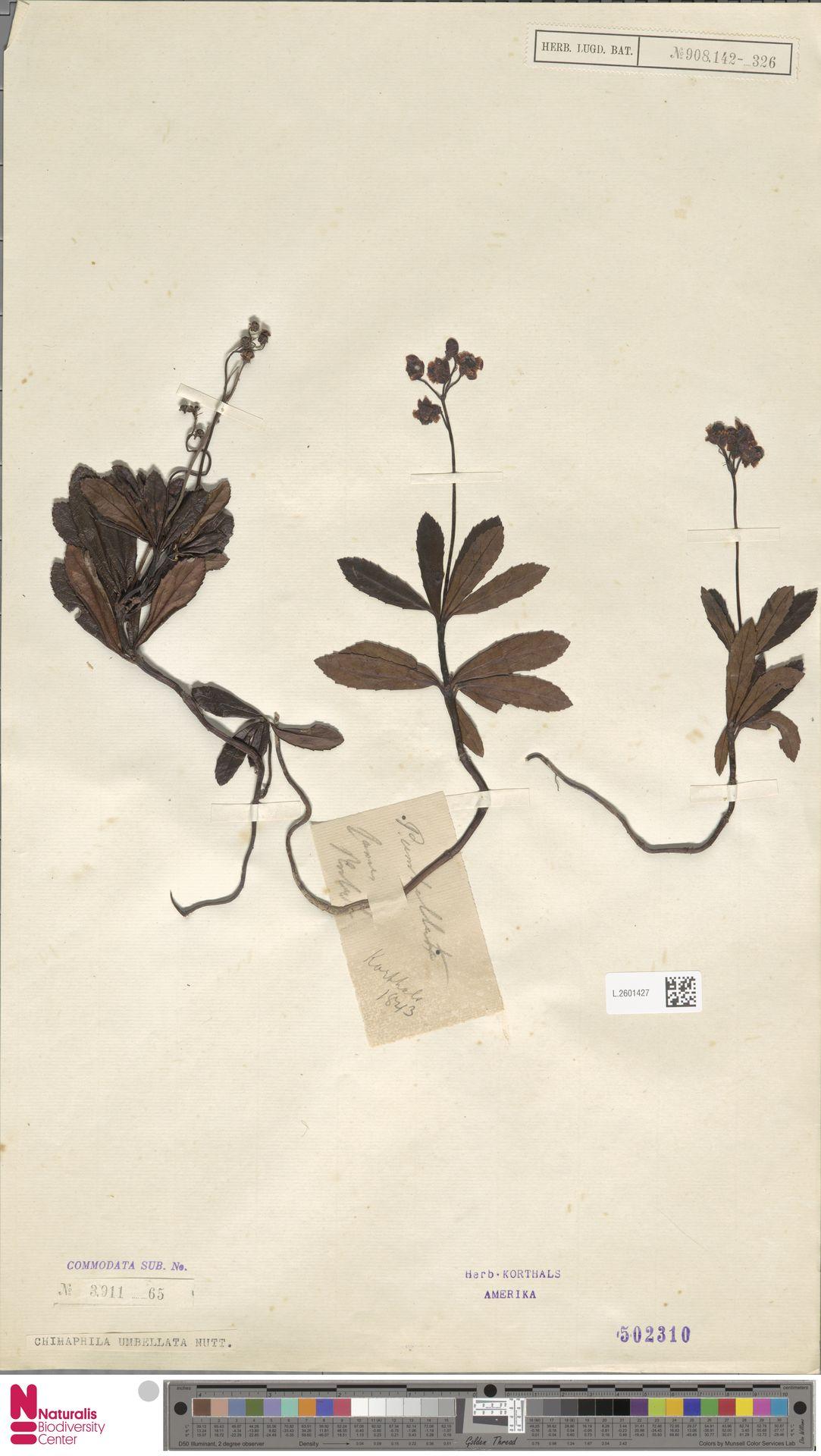 L.2601427 | Chimaphila umbellata (L.) W.C.Barton