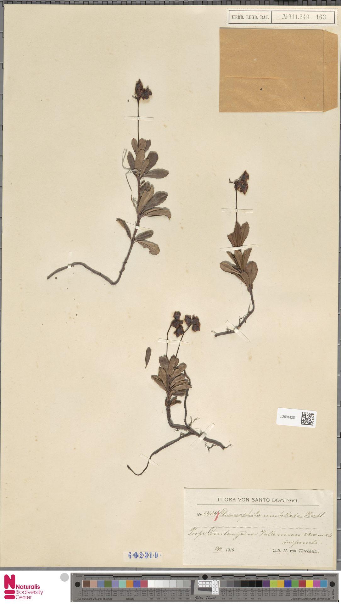 L.2601428 | Chimaphila umbellata (L.) W.C.Barton