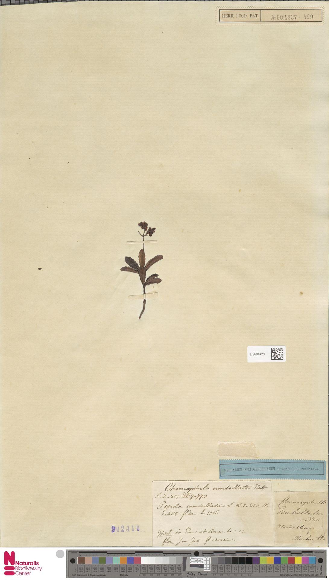 L.2601429 | Chimaphila umbellata (L.) W.C.Barton