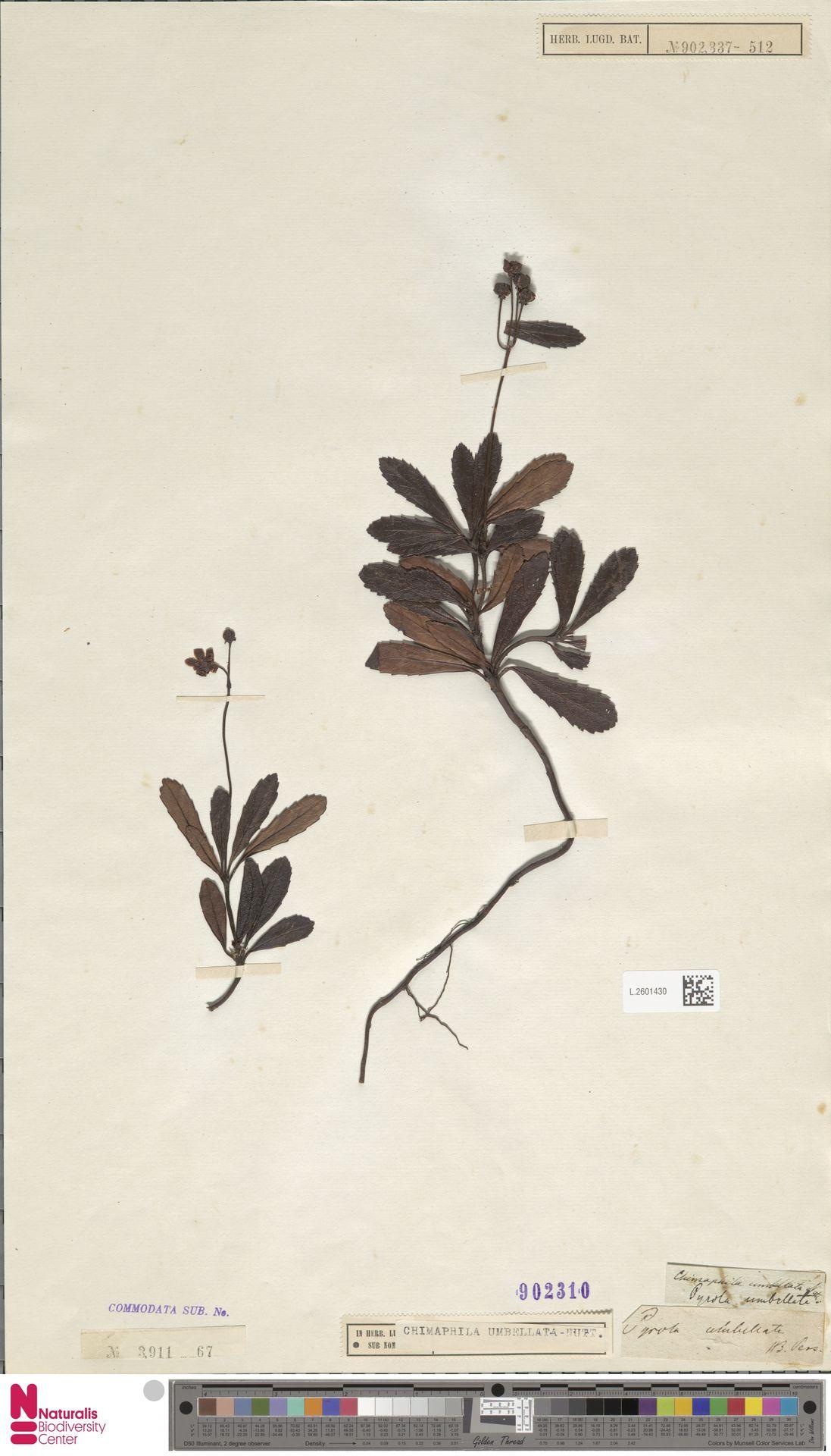 L.2601430 | Chimaphila umbellata (L.) W.C.Barton