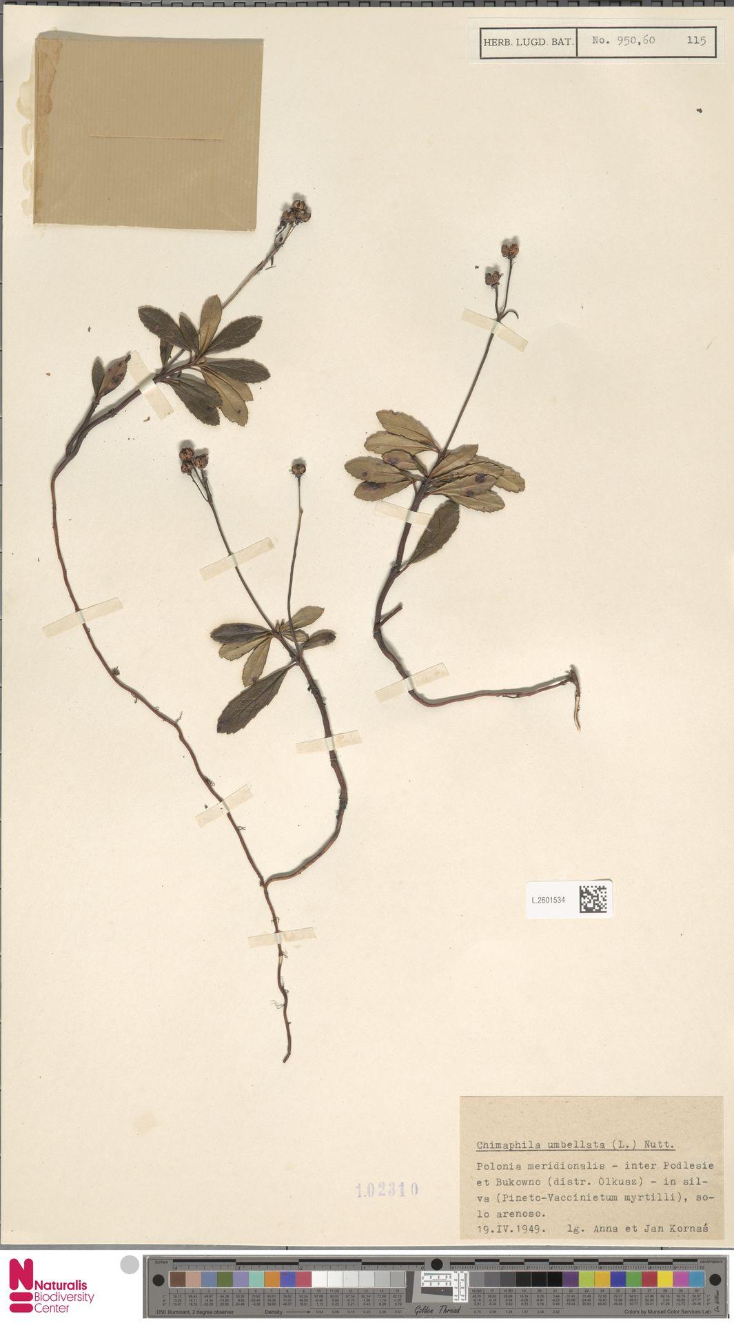 L.2601534   Chimaphila umbellata (L.) W.C.Barton