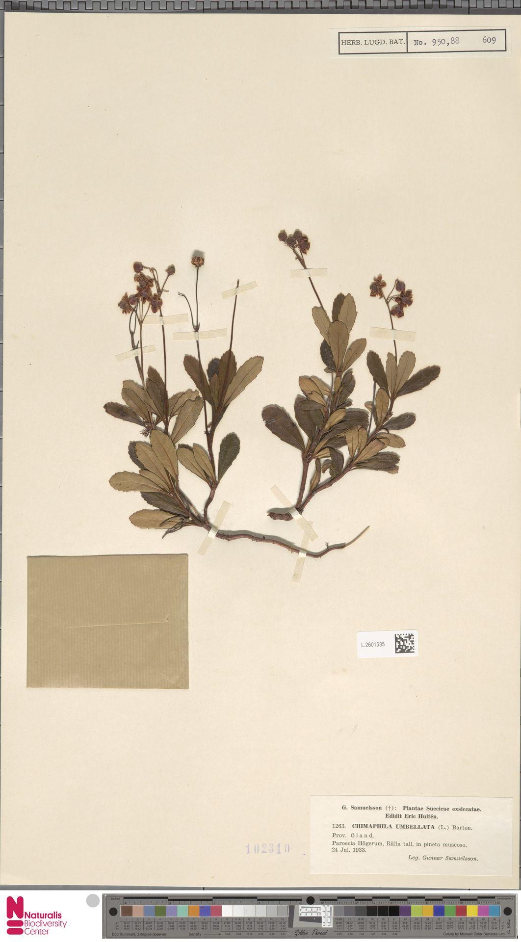 L.2601535   Chimaphila umbellata (L.) W.C.Barton