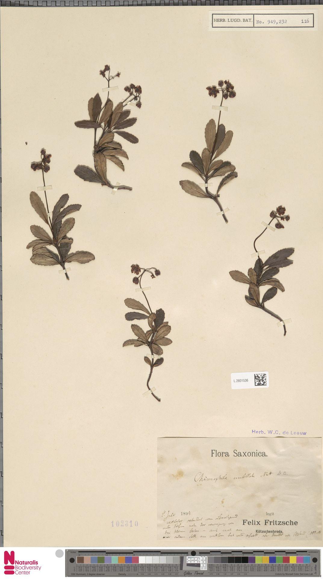 L.2601536 | Chimaphila umbellata (L.) W.C.Barton