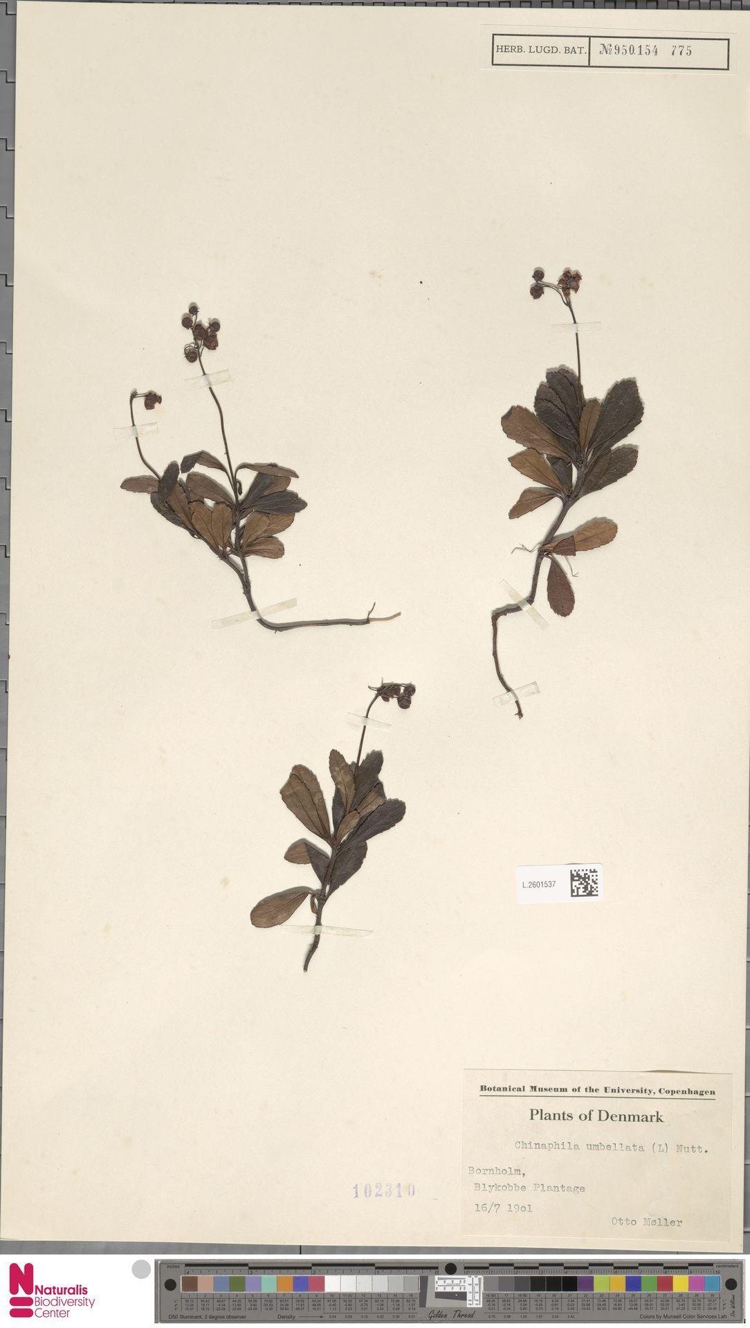 L.2601537 | Chimaphila umbellata (L.) W.C.Barton
