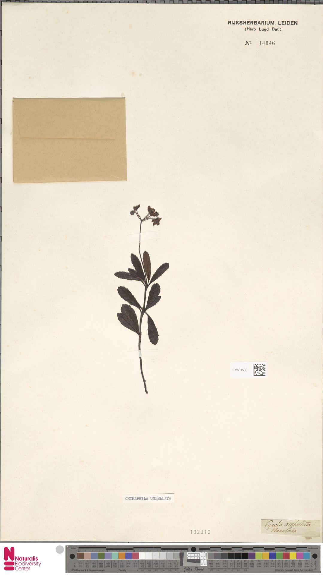 L.2601538 | Chimaphila umbellata (L.) W.C.Barton