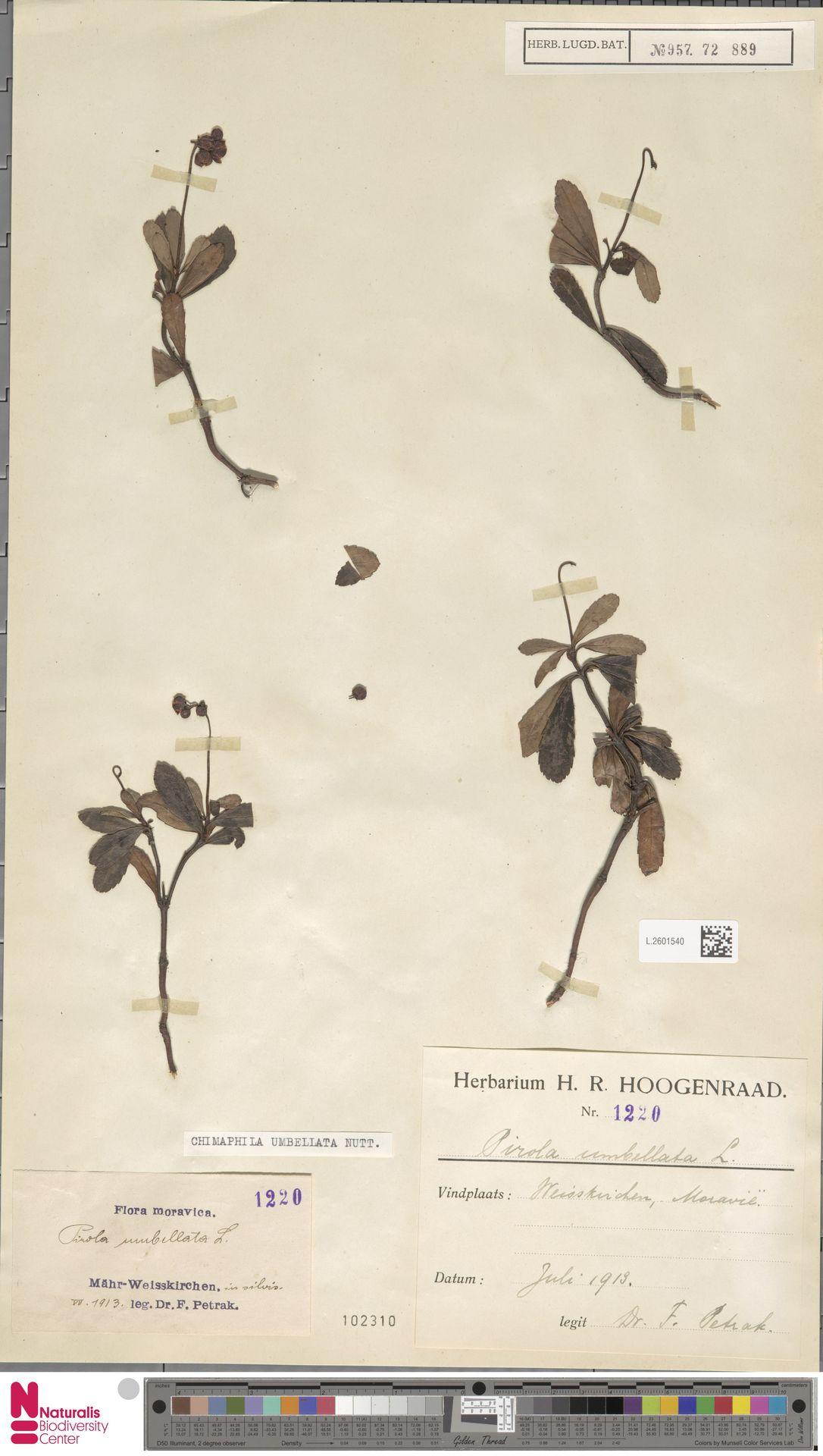 L.2601540 | Chimaphila umbellata (L.) W.C.Barton