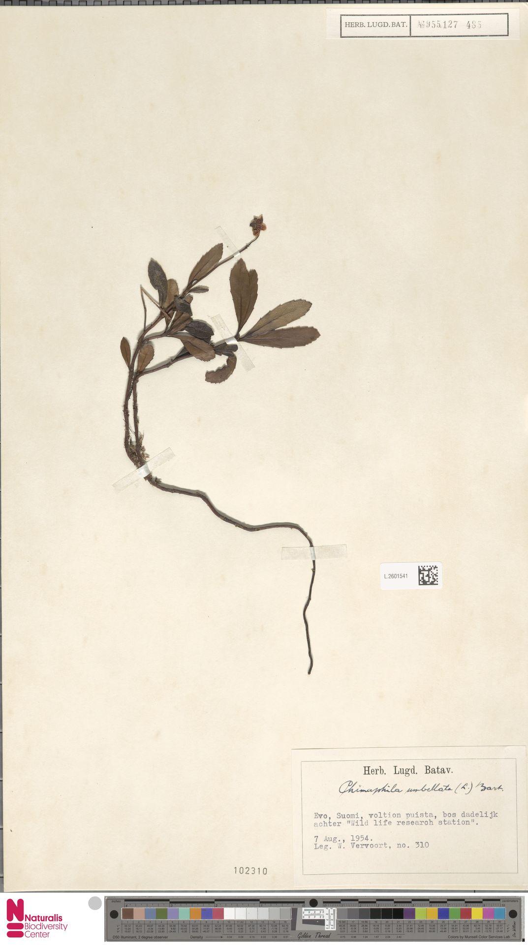 L.2601541   Chimaphila umbellata (L.) W.C.Barton