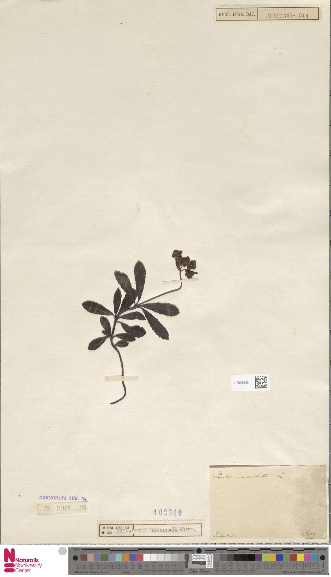 L.2601545 | Chimaphila umbellata (L.) W.C.Barton