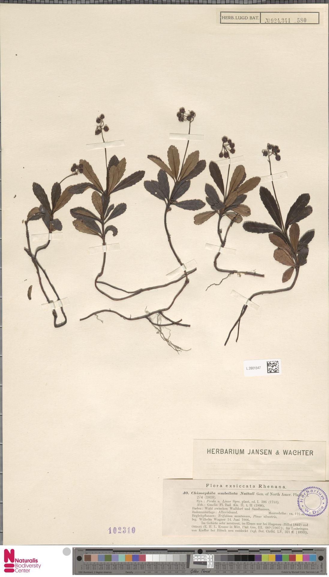 L.2601547   Chimaphila umbellata (L.) W.C.Barton