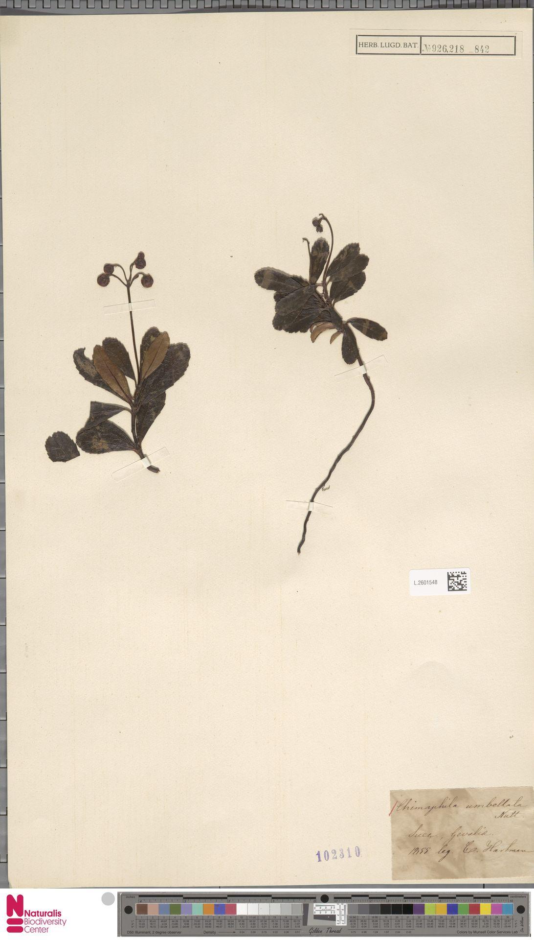 L.2601548   Chimaphila umbellata (L.) W.C.Barton