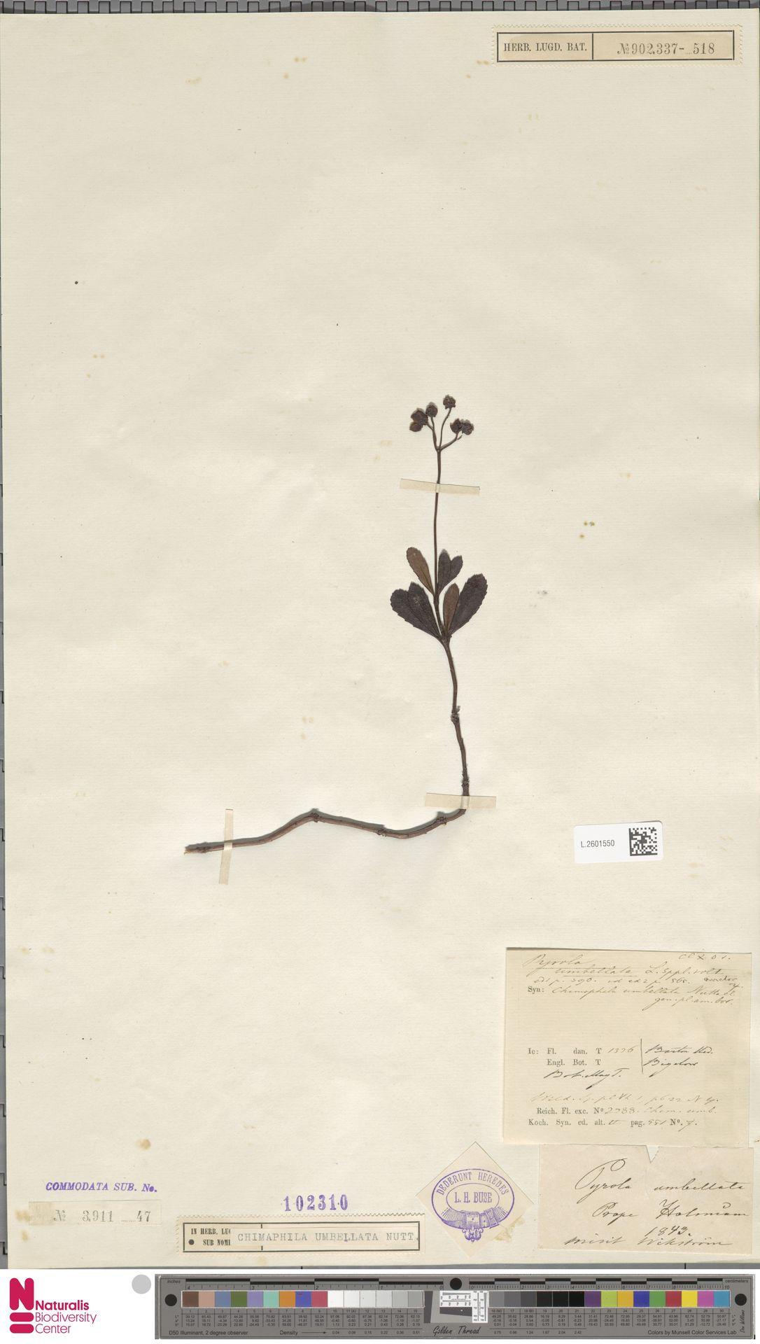 L.2601550   Chimaphila umbellata (L.) W.C.Barton