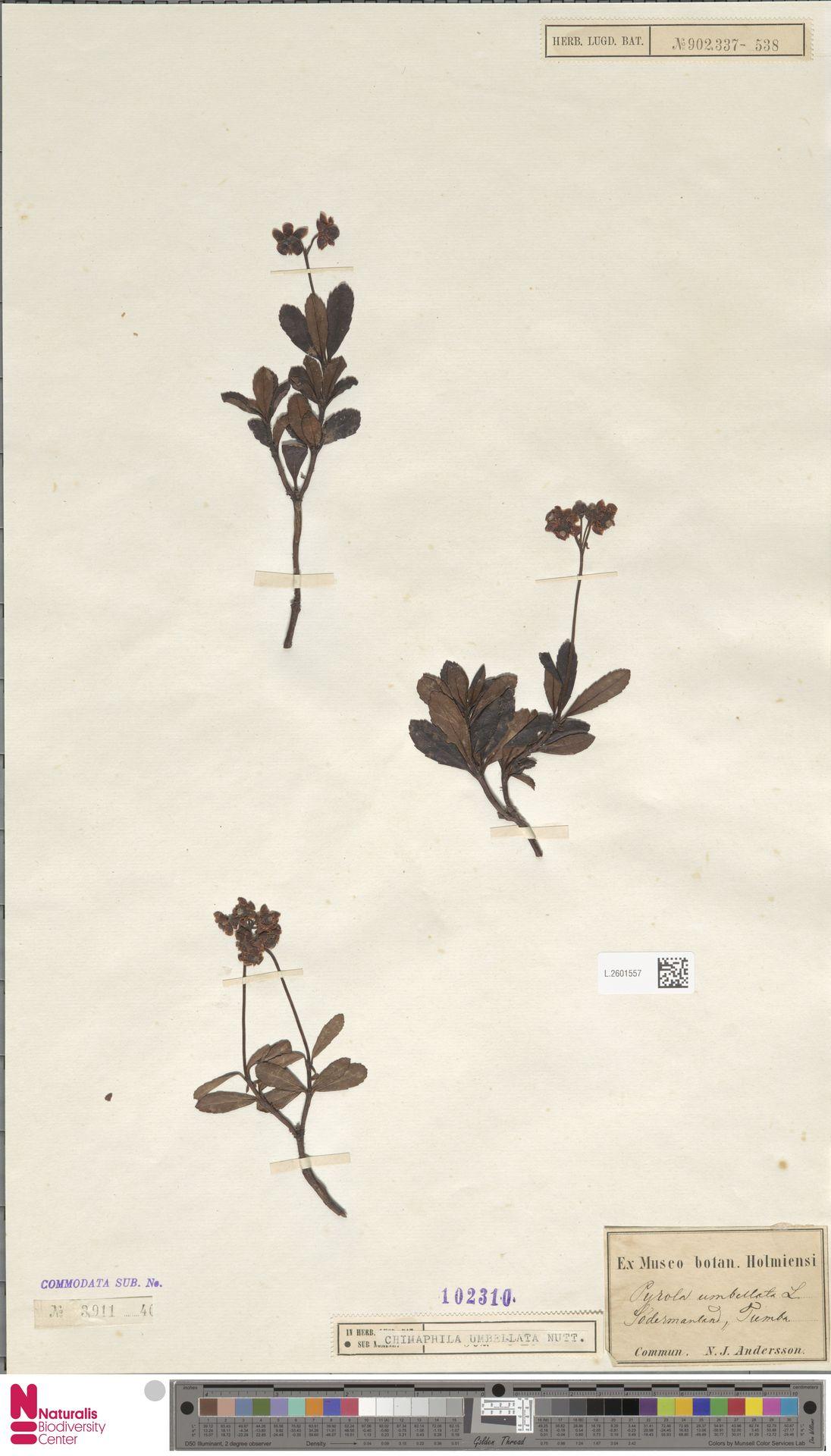 L.2601557 | Chimaphila umbellata (L.) W.C.Barton