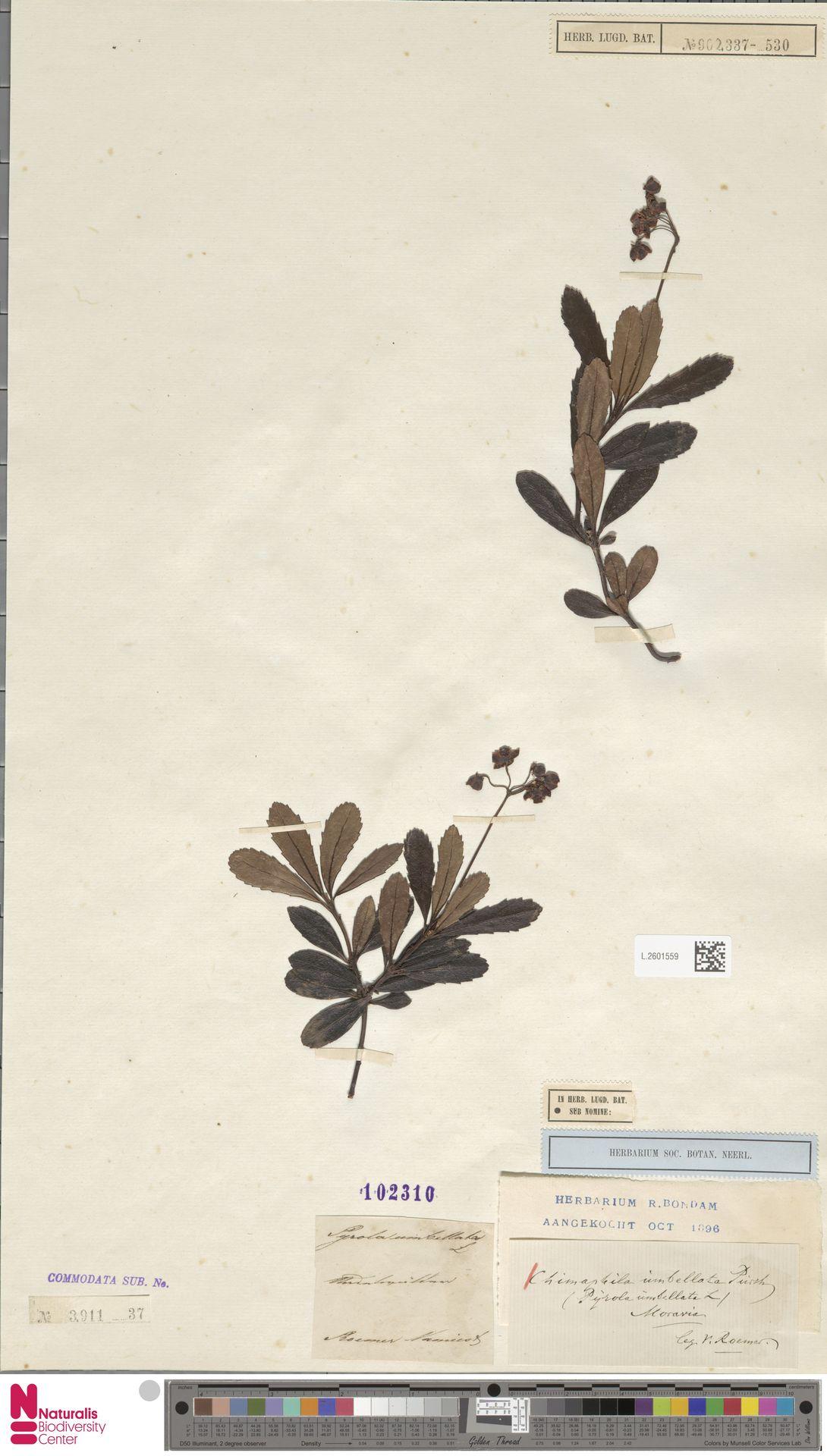 L.2601559 | Chimaphila umbellata (L.) W.C.Barton