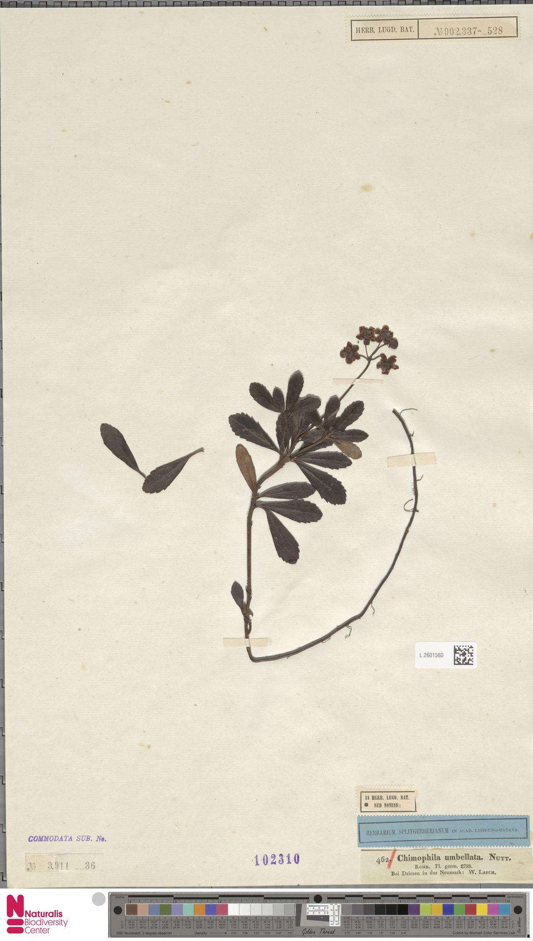 L.2601560 | Chimaphila umbellata (L.) W.C.Barton
