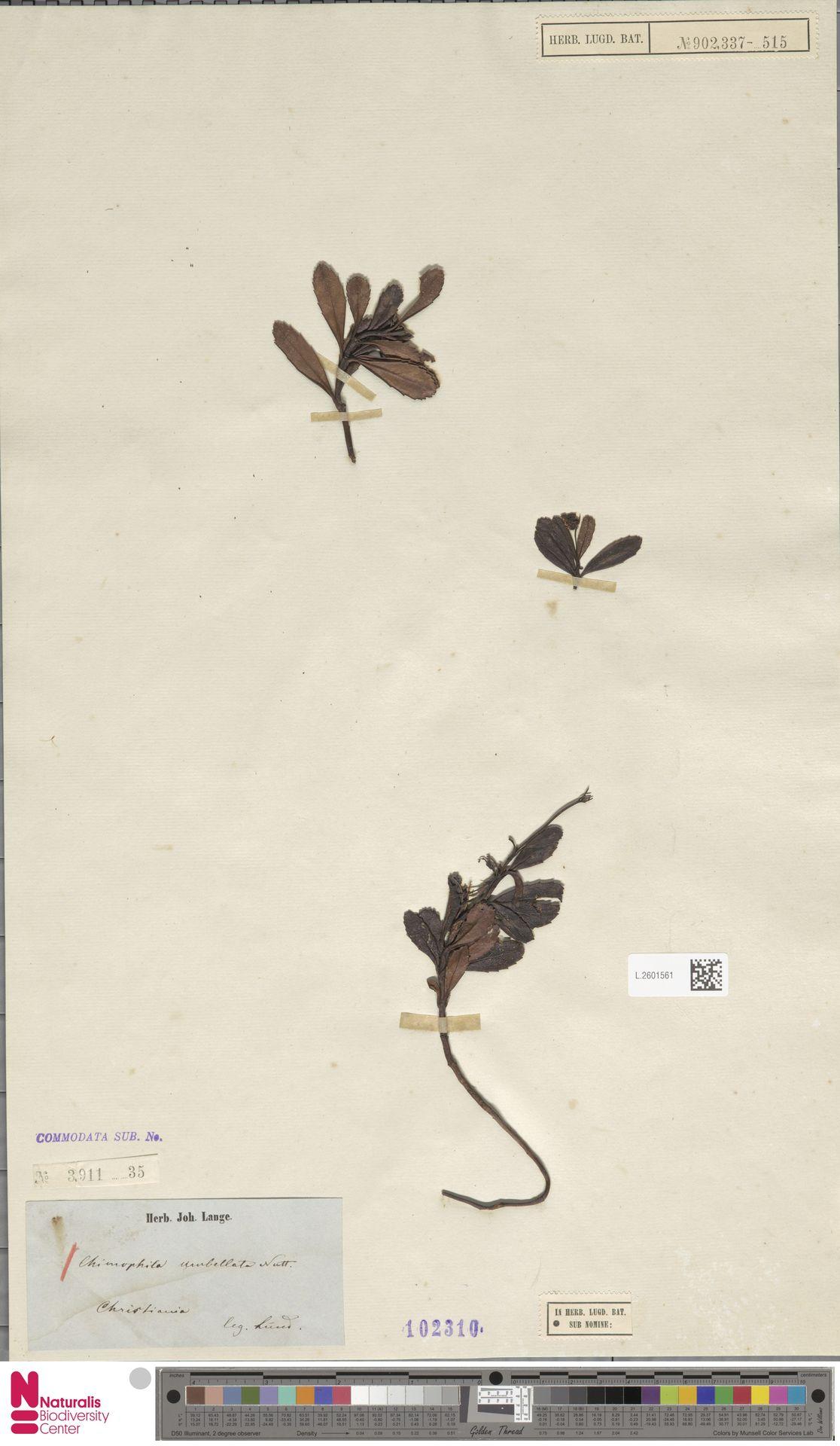 L.2601561 | Chimaphila umbellata (L.) W.C.Barton