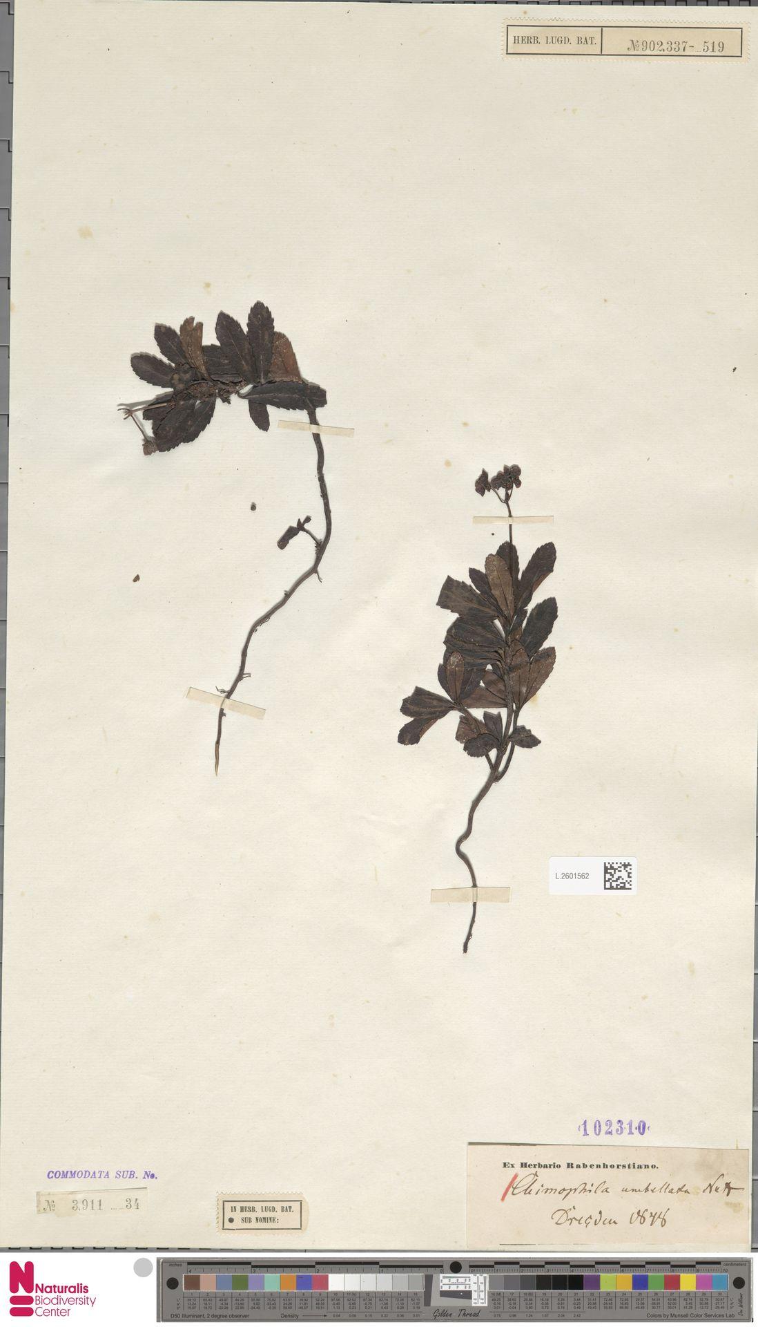 L.2601562 | Chimaphila umbellata (L.) W.C.Barton