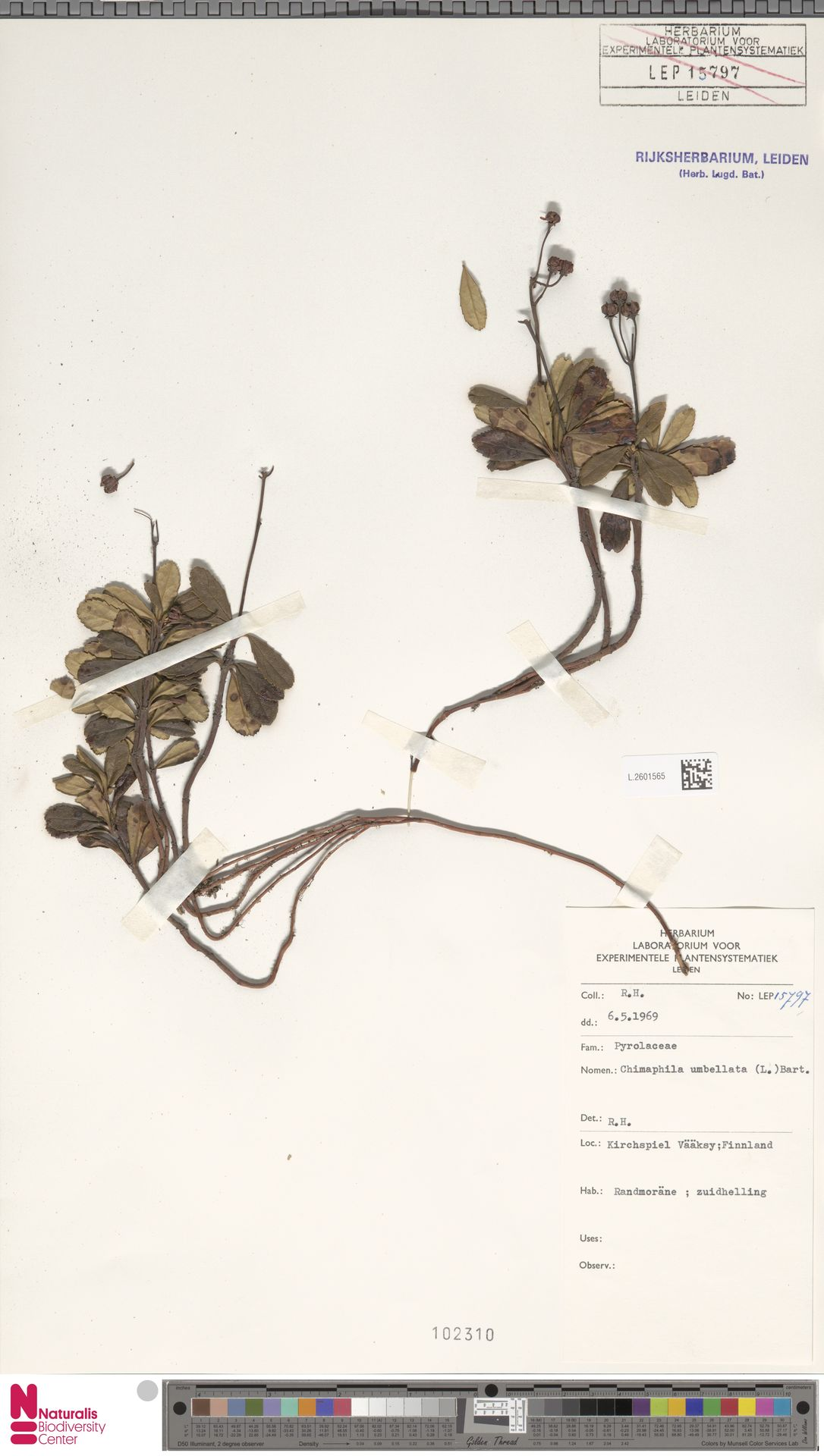 L.2601565 | Chimaphila umbellata (L.) W.C.Barton