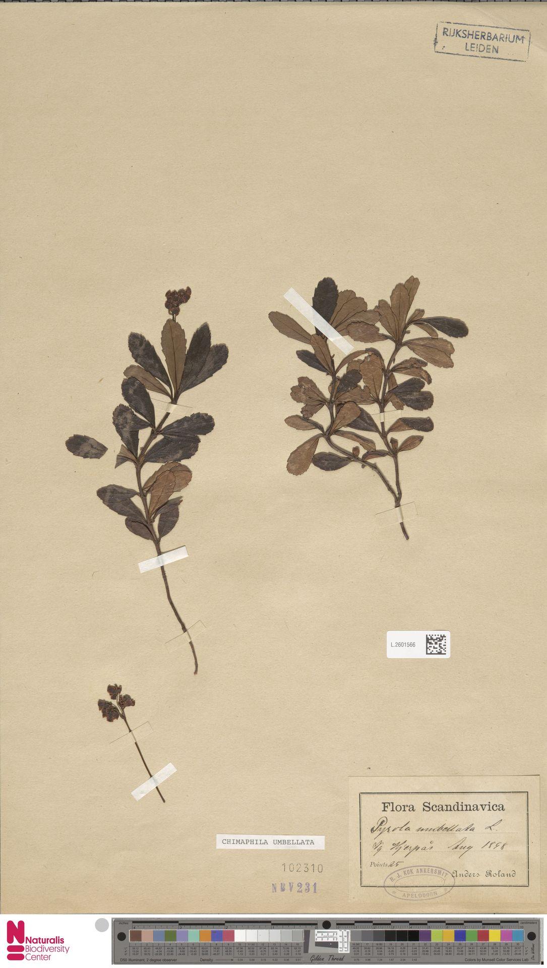 L.2601566 | Chimaphila umbellata (L.) W.C.Barton