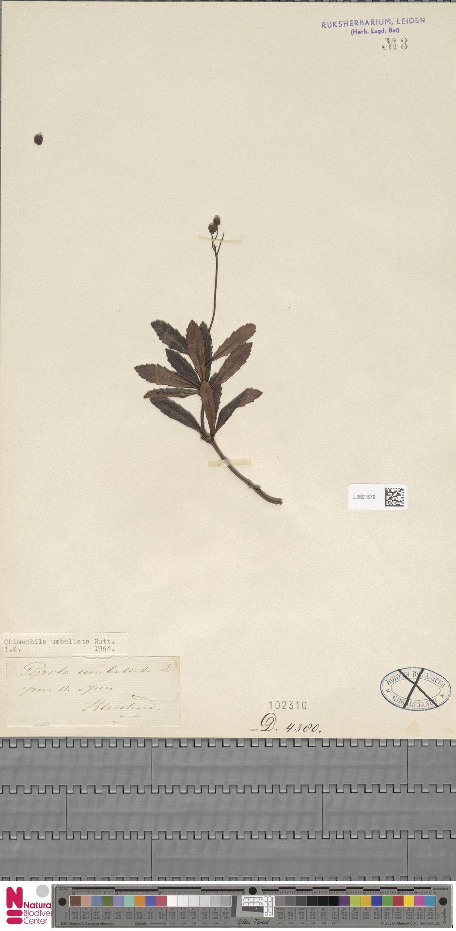L.2601570 | Chimaphila umbellata (L.) W.C.Barton