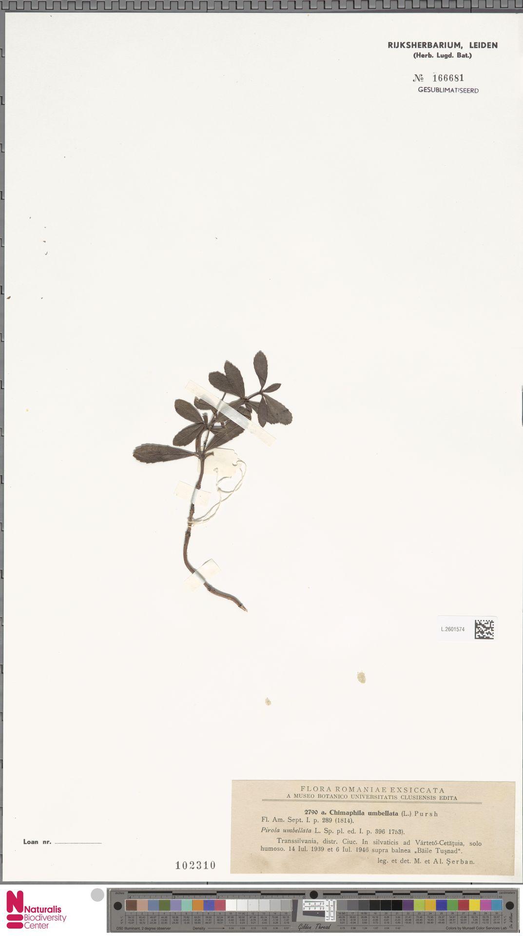 L.2601574 | Chimaphila umbellata (L.) W.C.Barton