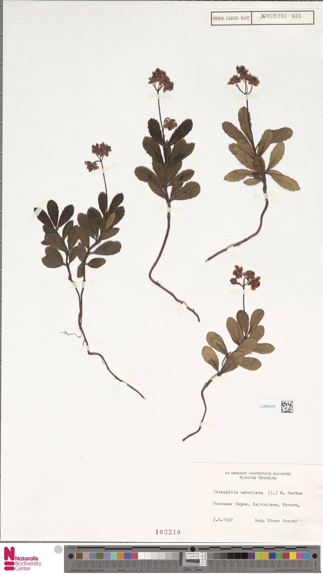 L.2601575 | Chimaphila umbellata (L.) W.C.Barton