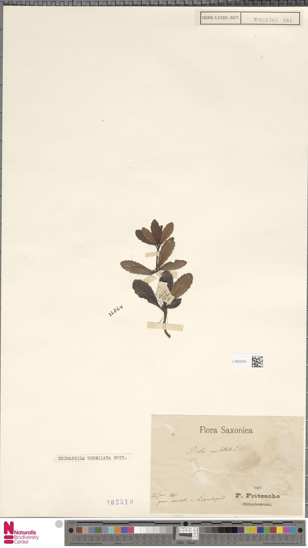 L.2601576 | Chimaphila umbellata (L.) W.C.Barton
