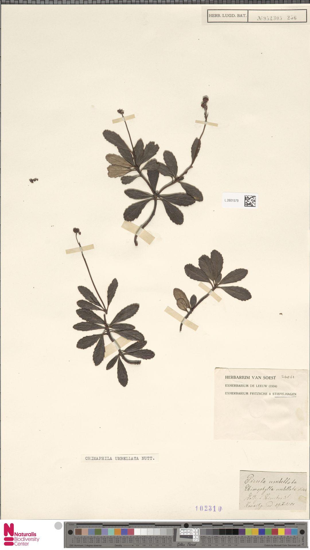 L.2601579   Chimaphila umbellata (L.) W.C.Barton