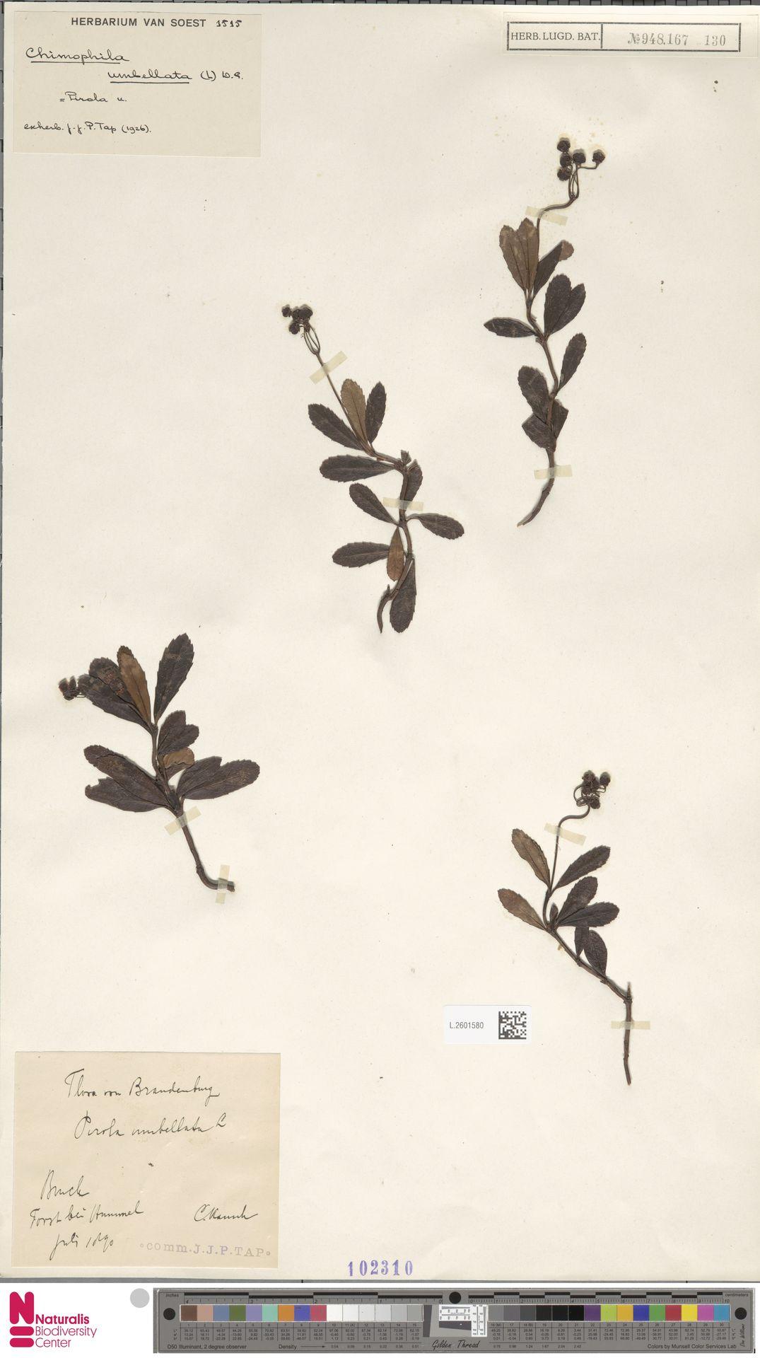 L.2601580 | Chimaphila umbellata (L.) W.C.Barton
