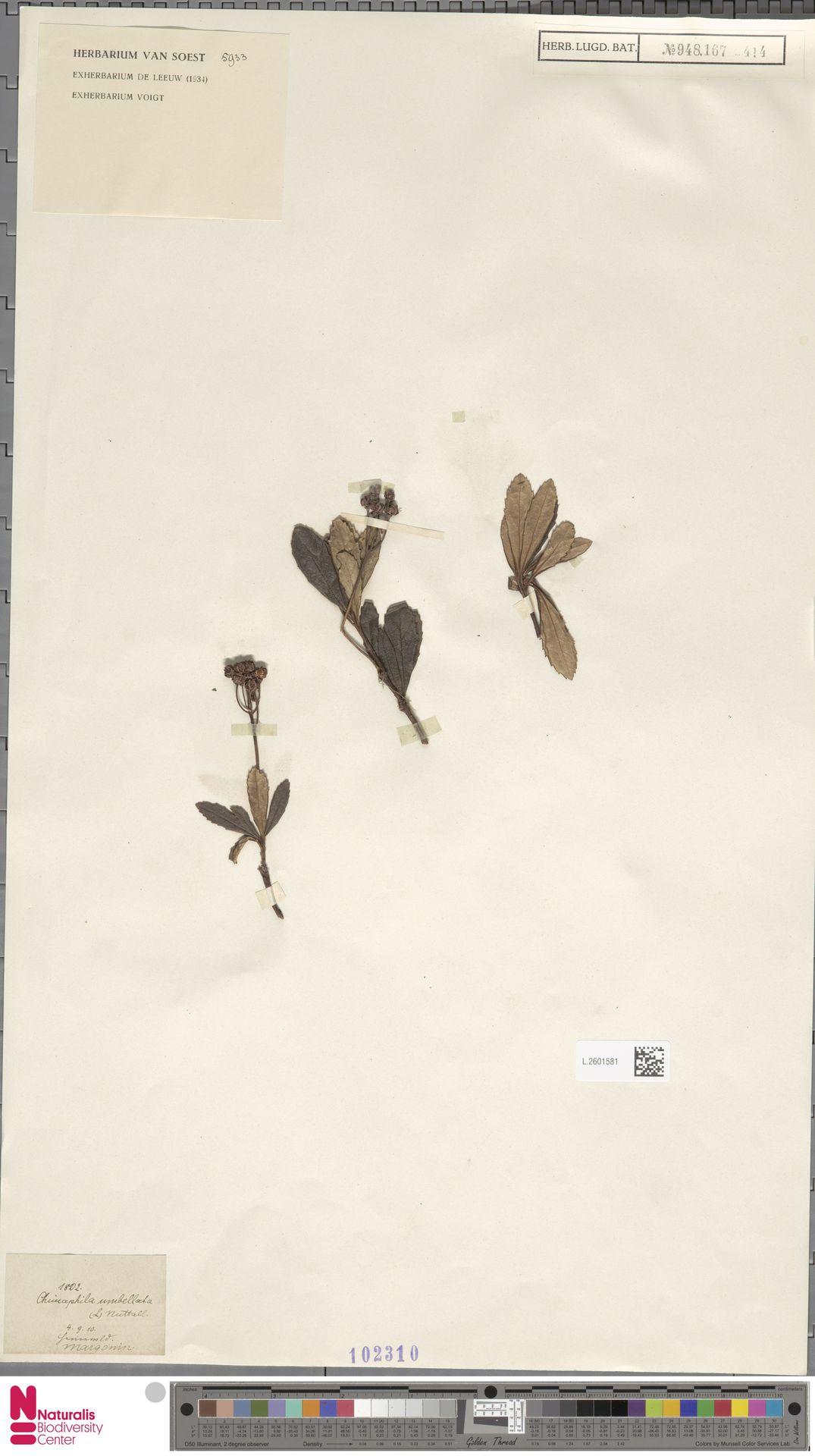 L.2601581 | Chimaphila umbellata (L.) W.C.Barton