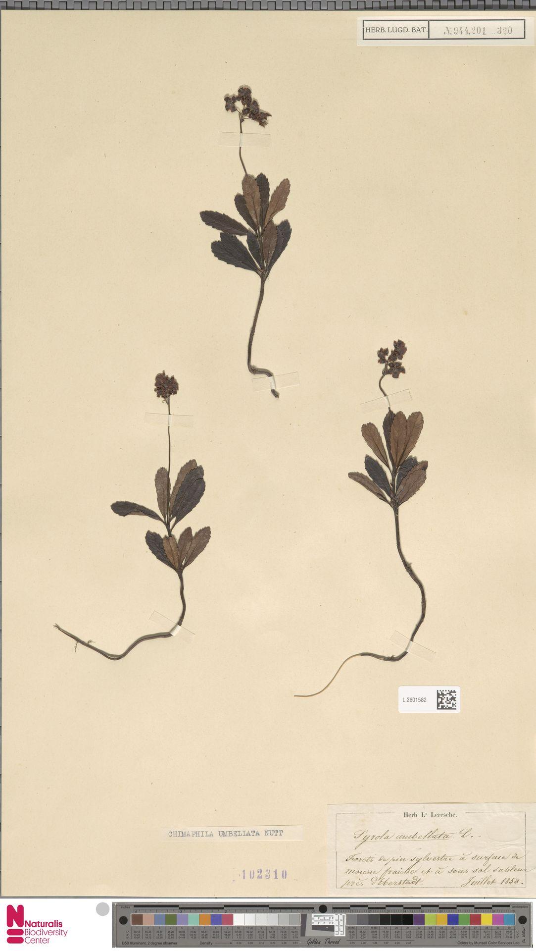 L.2601582 | Chimaphila umbellata (L.) W.C.Barton