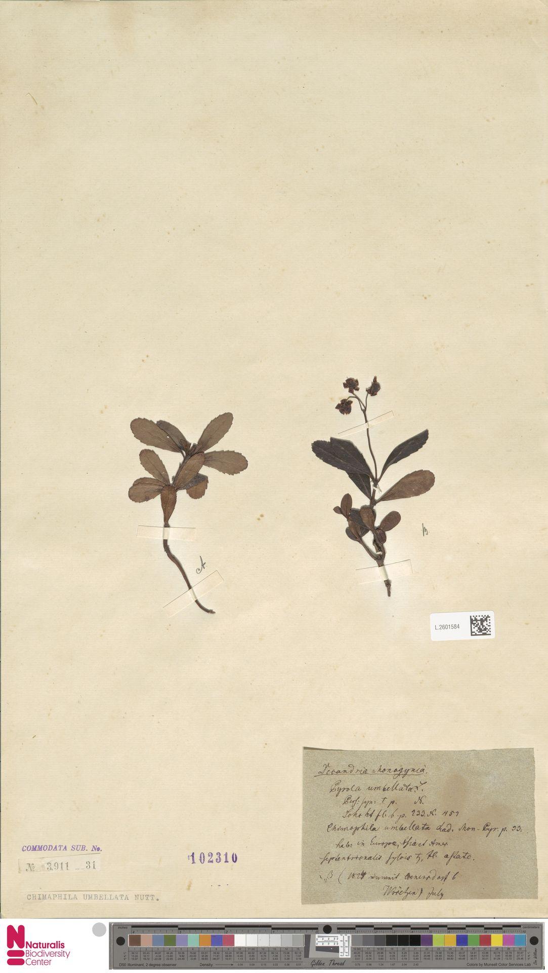 L.2601584   Chimaphila umbellata (L.) W.C.Barton