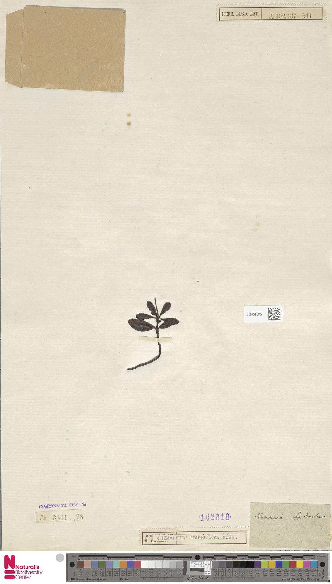 L.2601585 | Chimaphila umbellata (L.) W.C.Barton