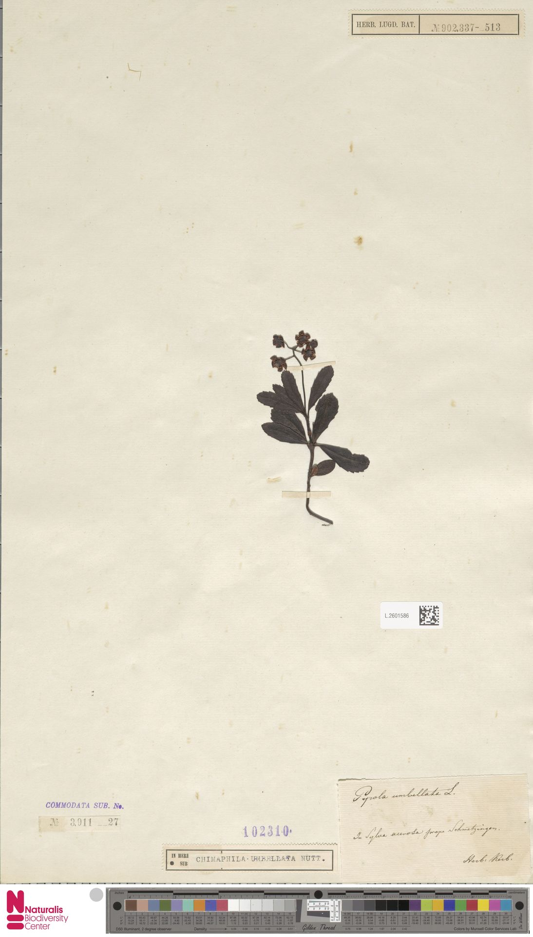 L.2601586   Chimaphila umbellata (L.) W.C.Barton