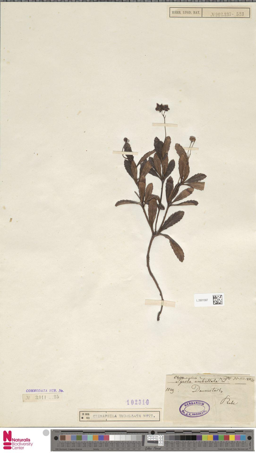 L.2601587 | Chimaphila umbellata (L.) W.C.Barton