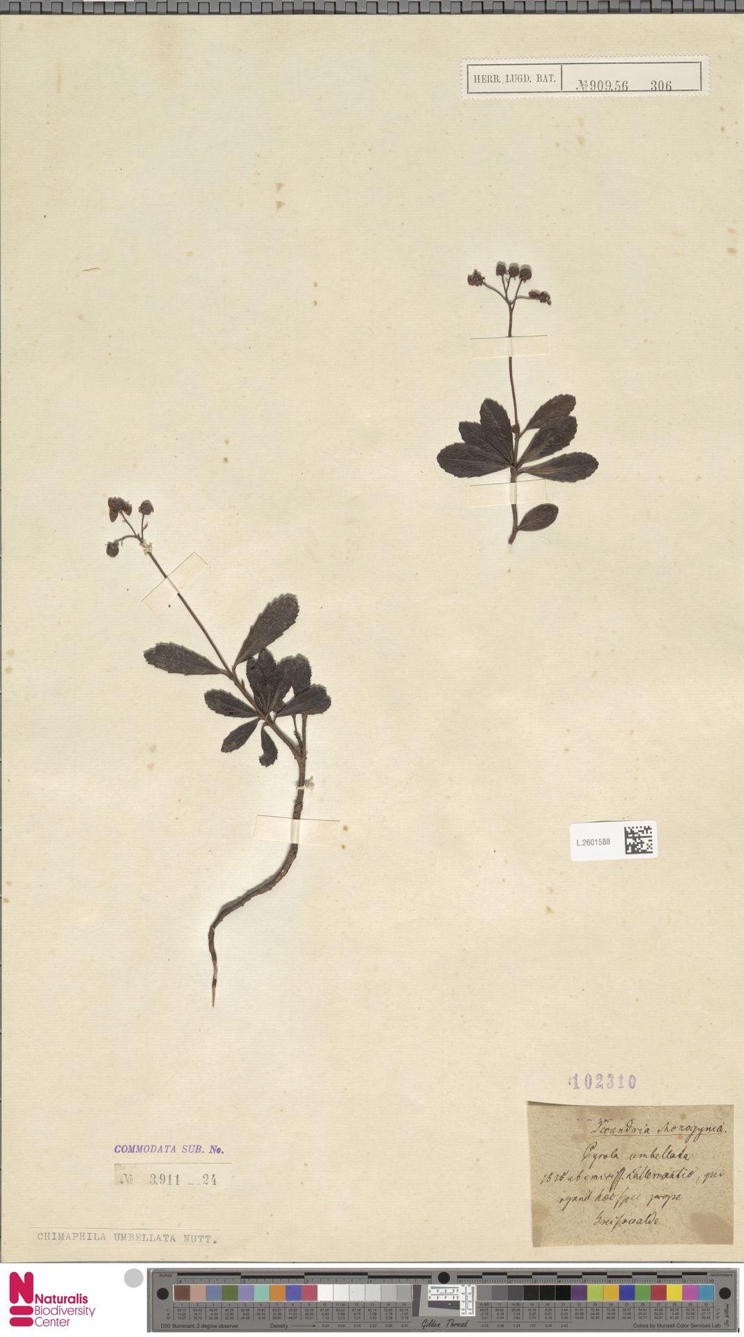 L.2601588 | Chimaphila umbellata (L.) W.C.Barton