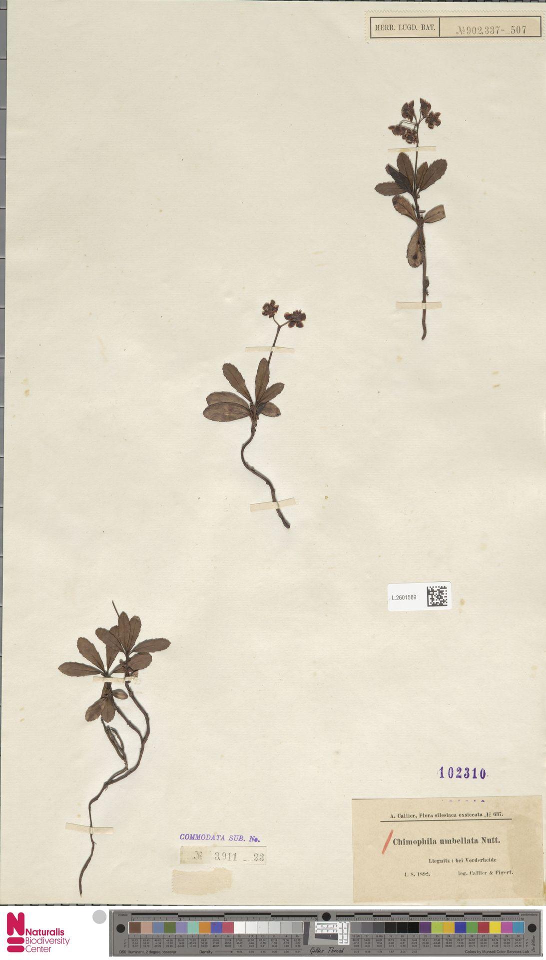L.2601589 | Chimaphila umbellata (L.) W.C.Barton