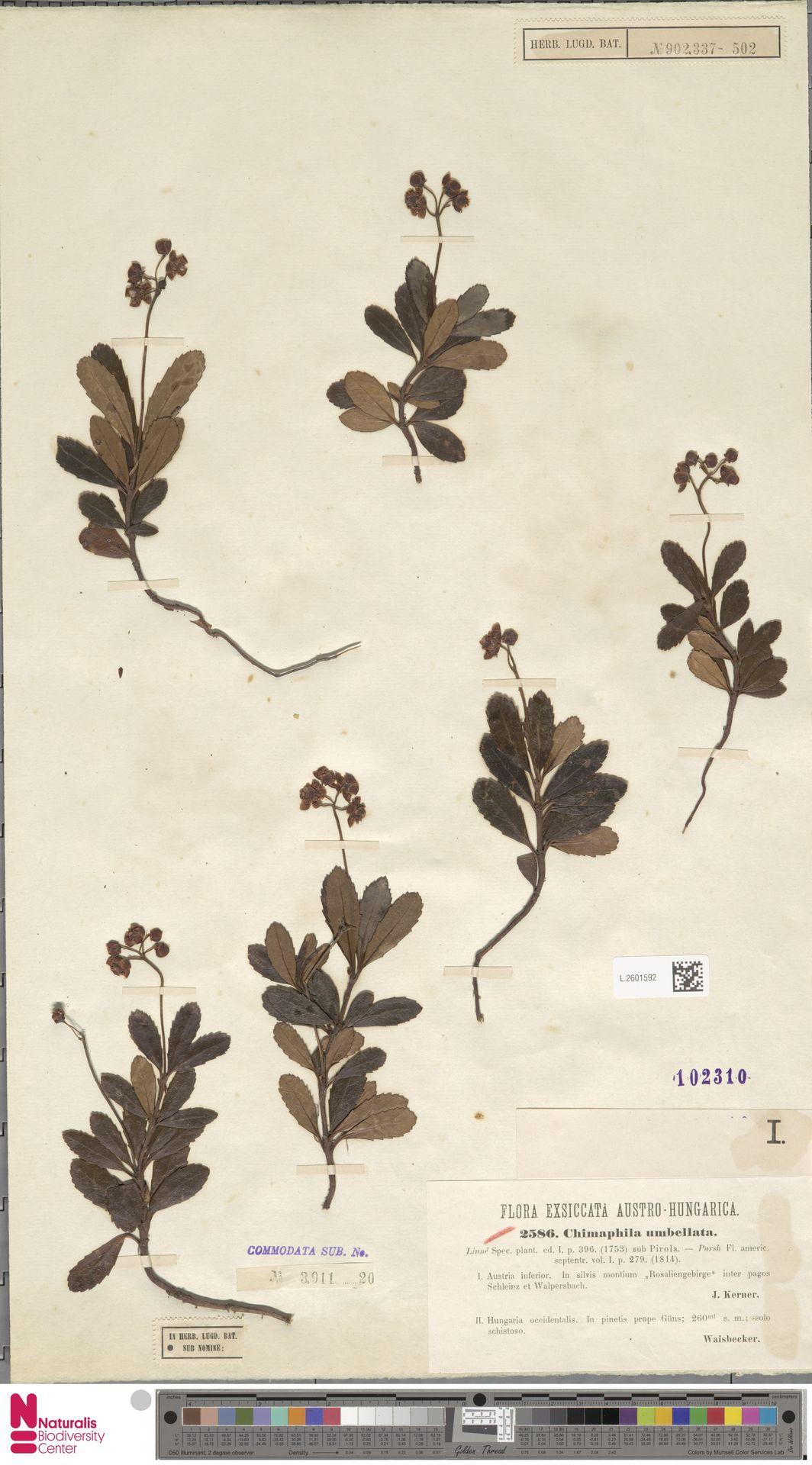 L.2601592 | Chimaphila umbellata (L.) W.C.Barton