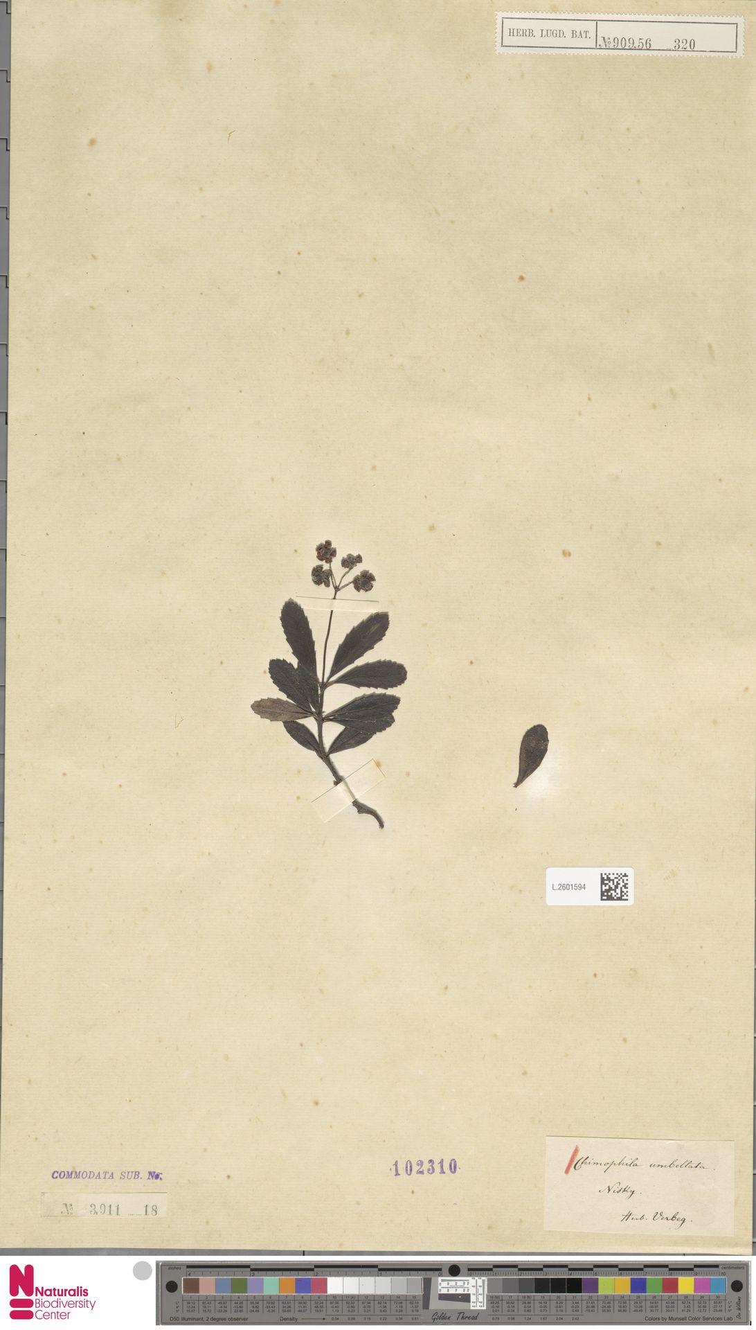 L.2601594 | Chimaphila umbellata (L.) W.C.Barton
