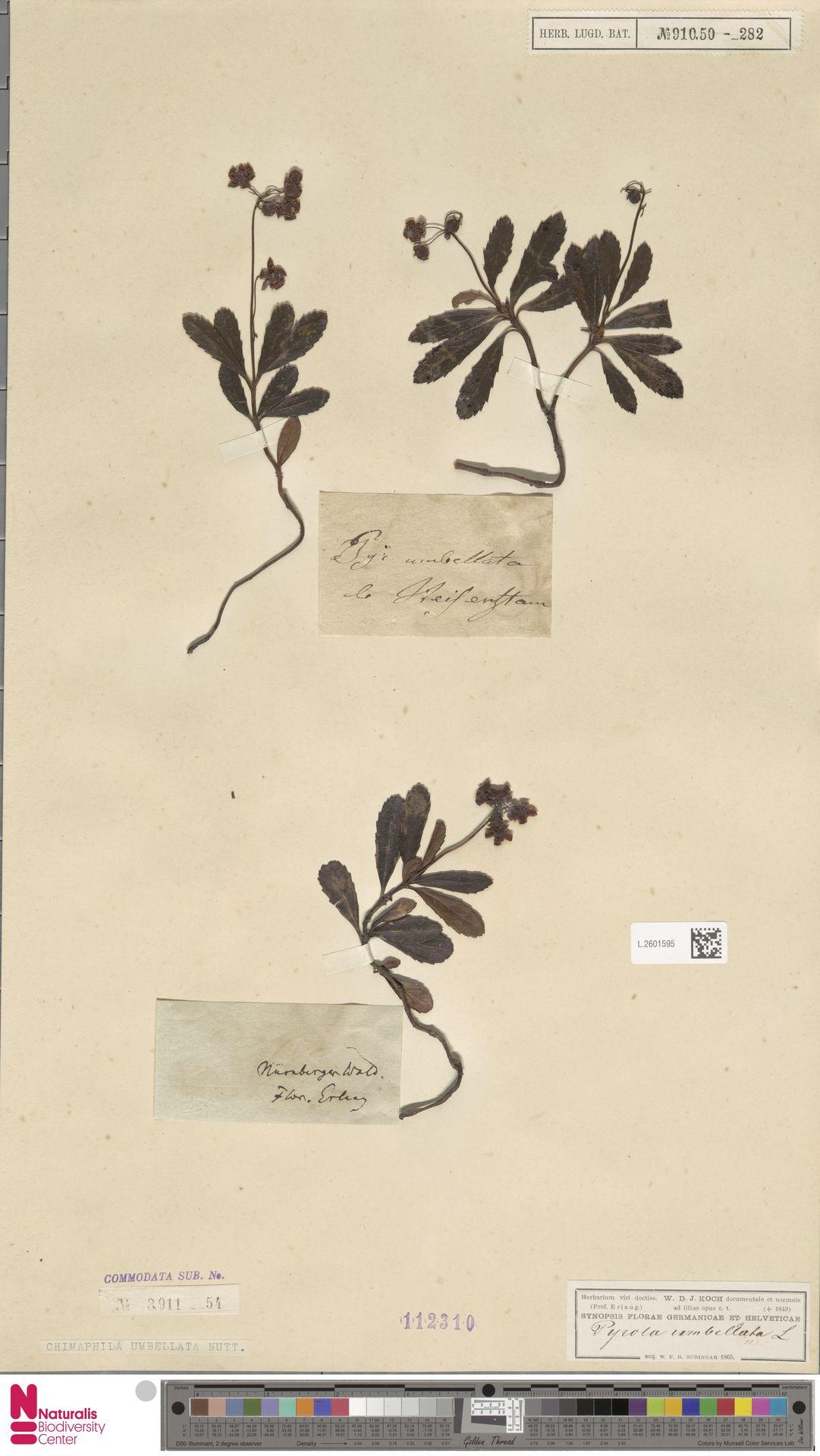 L.2601595 | Chimaphila umbellata (L.) W.C.Barton