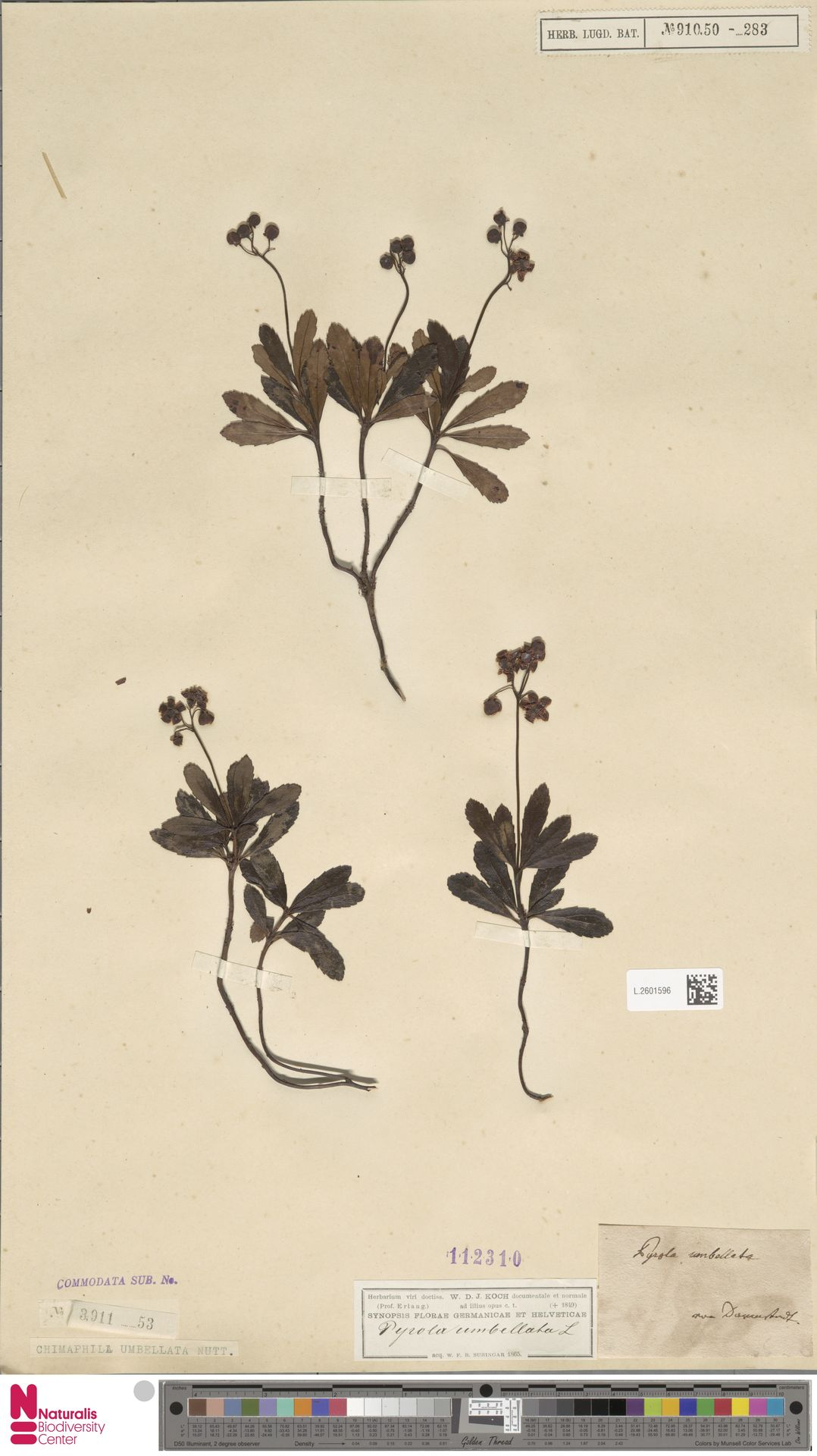 L.2601596 | Chimaphila umbellata (L.) W.C.Barton