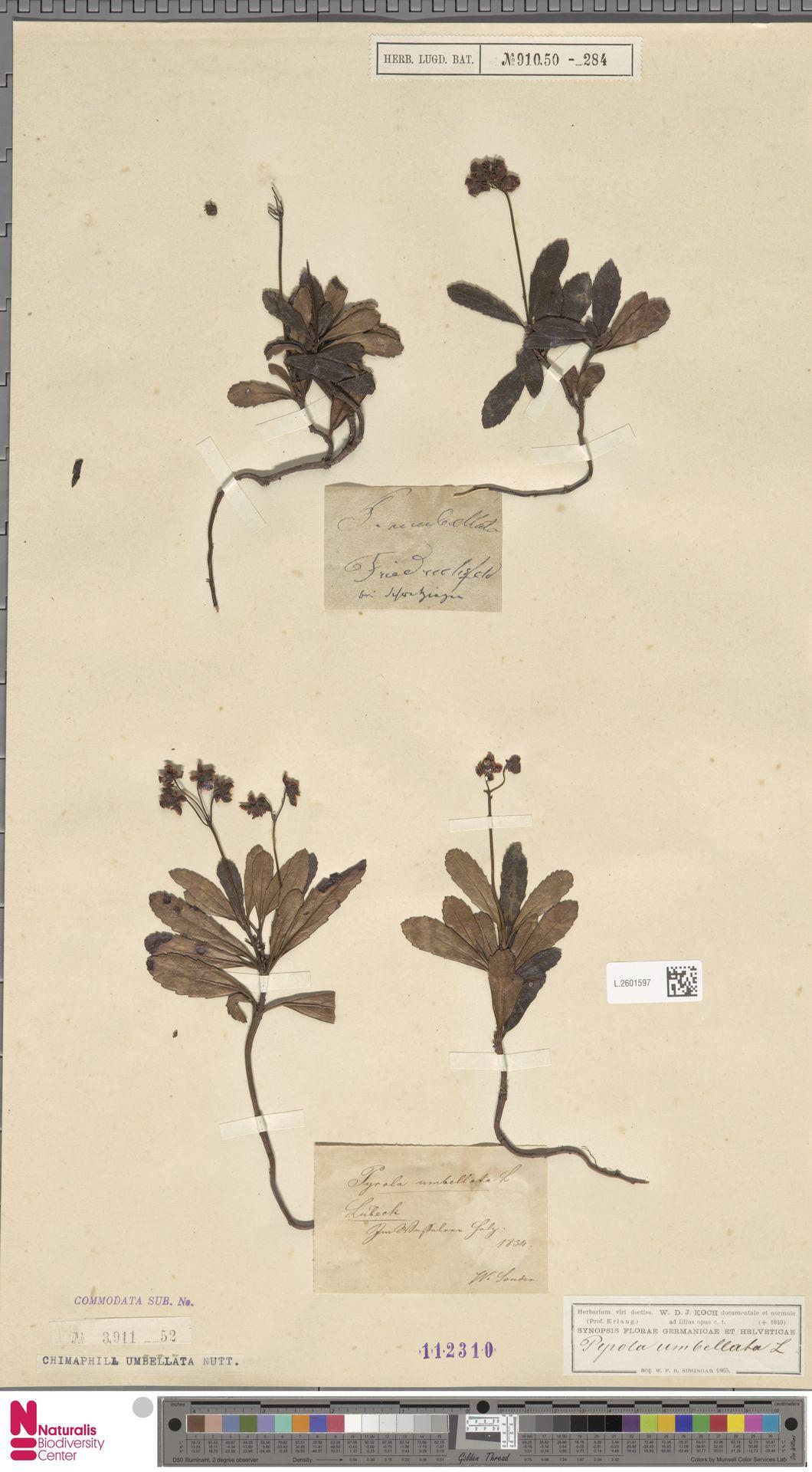 L.2601597 | Chimaphila umbellata (L.) W.C.Barton