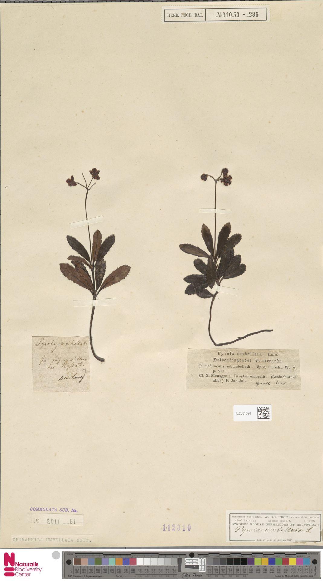 L.2601598 | Chimaphila umbellata (L.) W.C.Barton