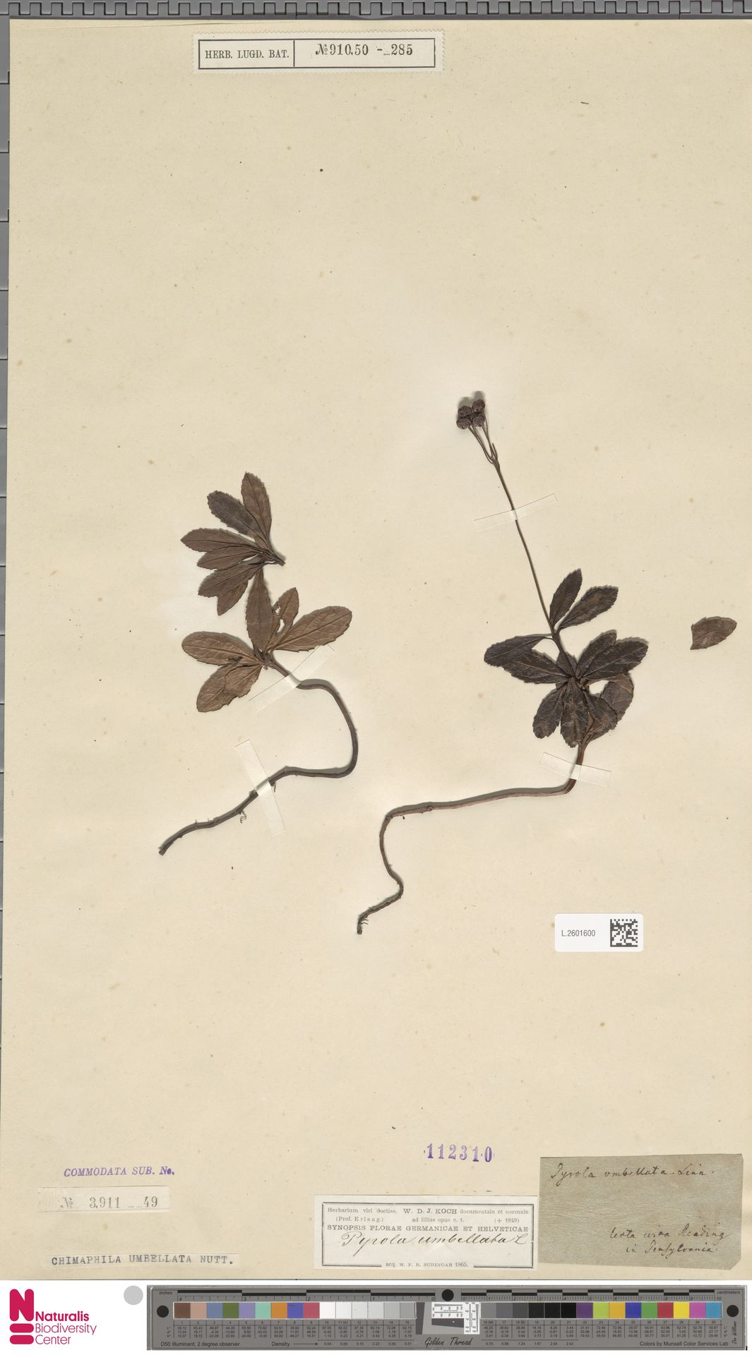 L.2601600 | Chimaphila umbellata (L.) W.C.Barton