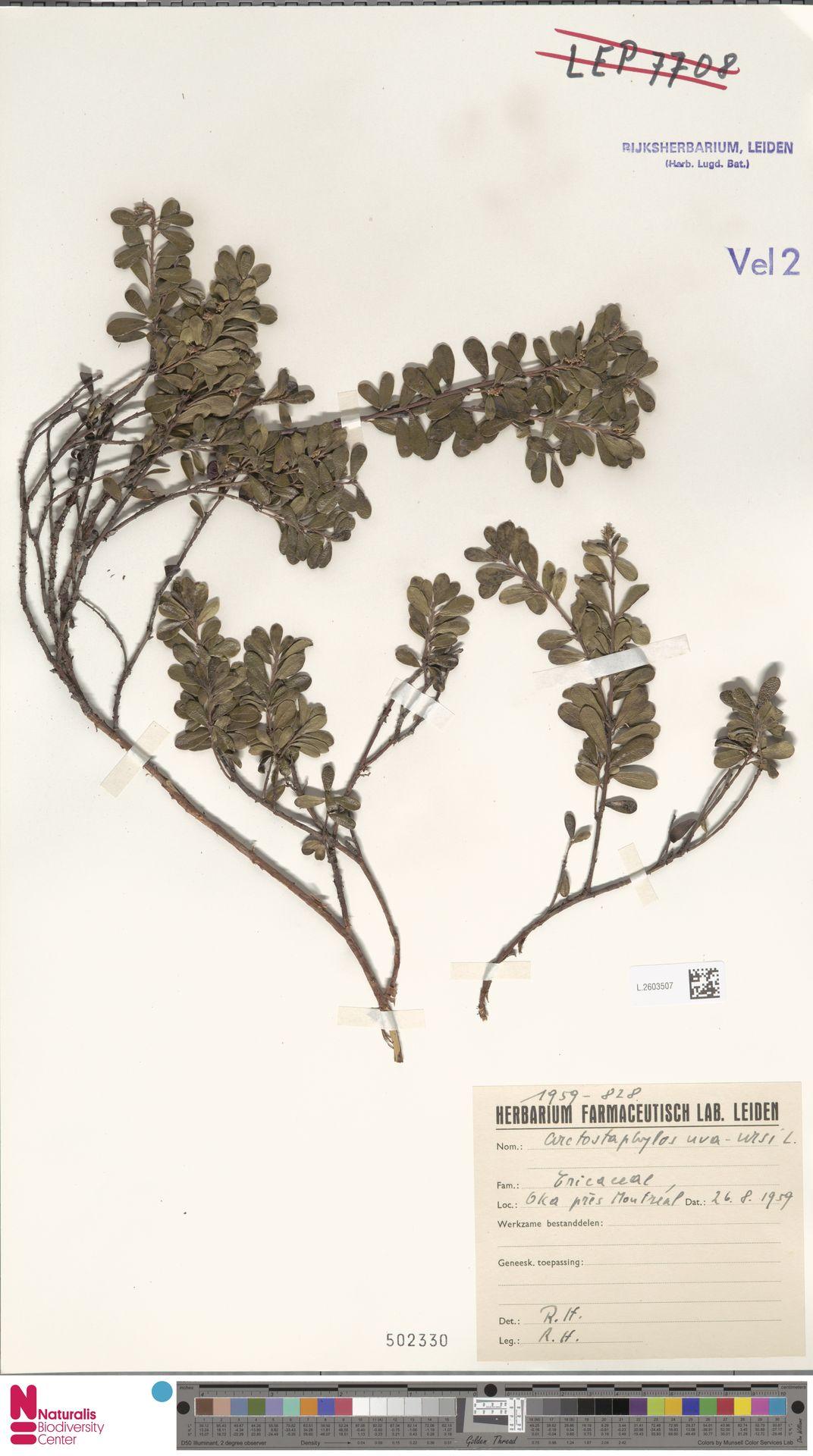 L.2603507 | Arctostaphylos uva-ursi (L.) Spreng.