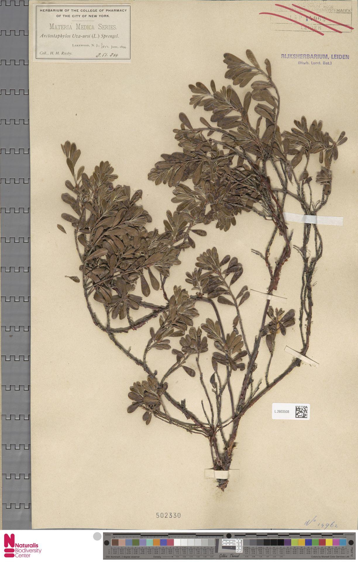 L.2603508 | Arctostaphylos uva-ursi (L.) Spreng.