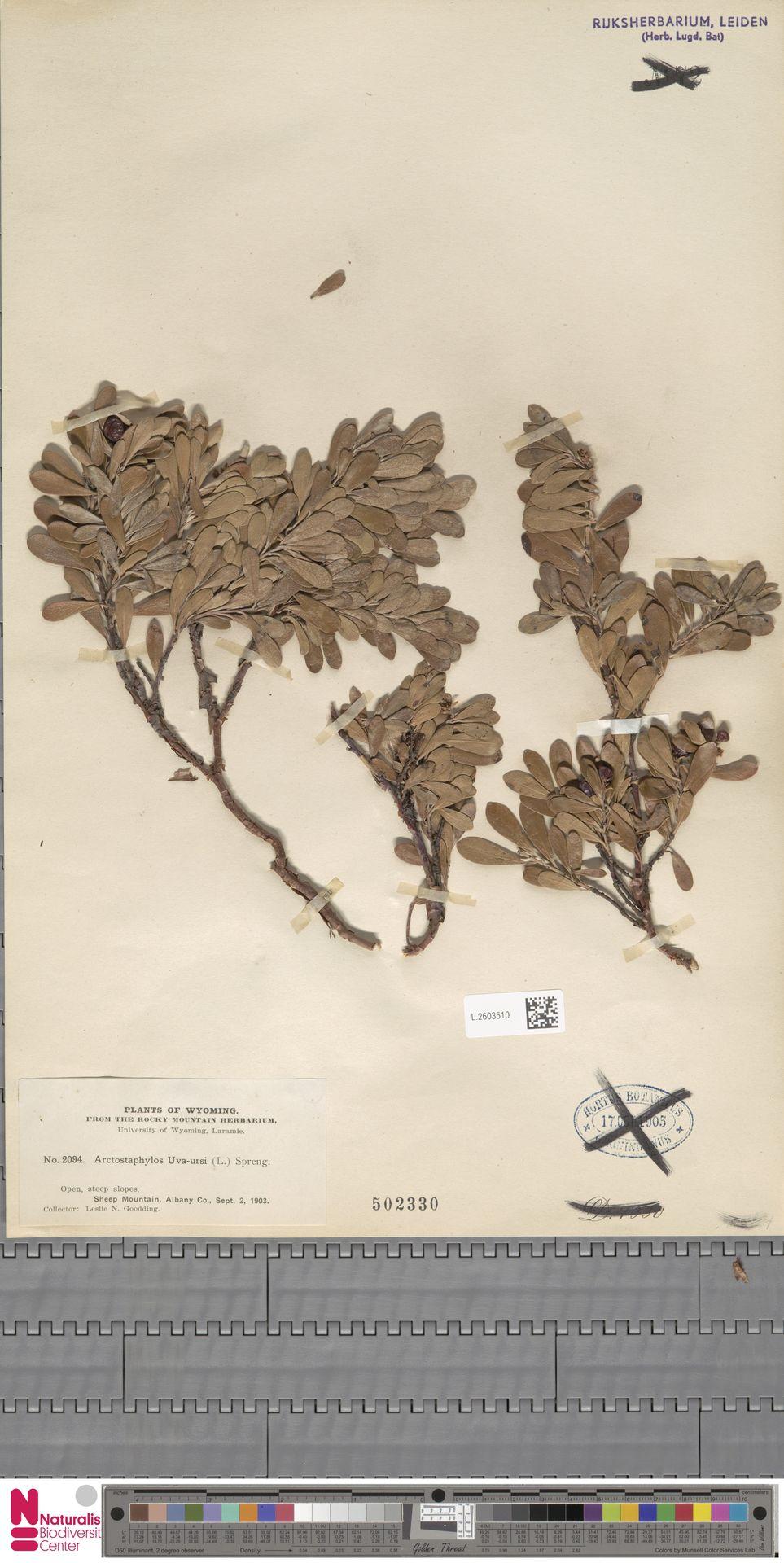L.2603510 | Arctostaphylos uva-ursi (L.) Spreng.