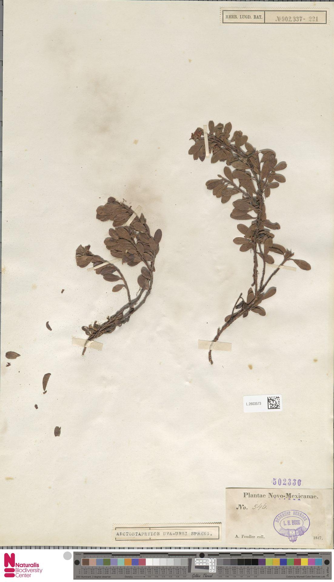 L.2603573 | Arctostaphylos uva-ursi (L.) Spreng.