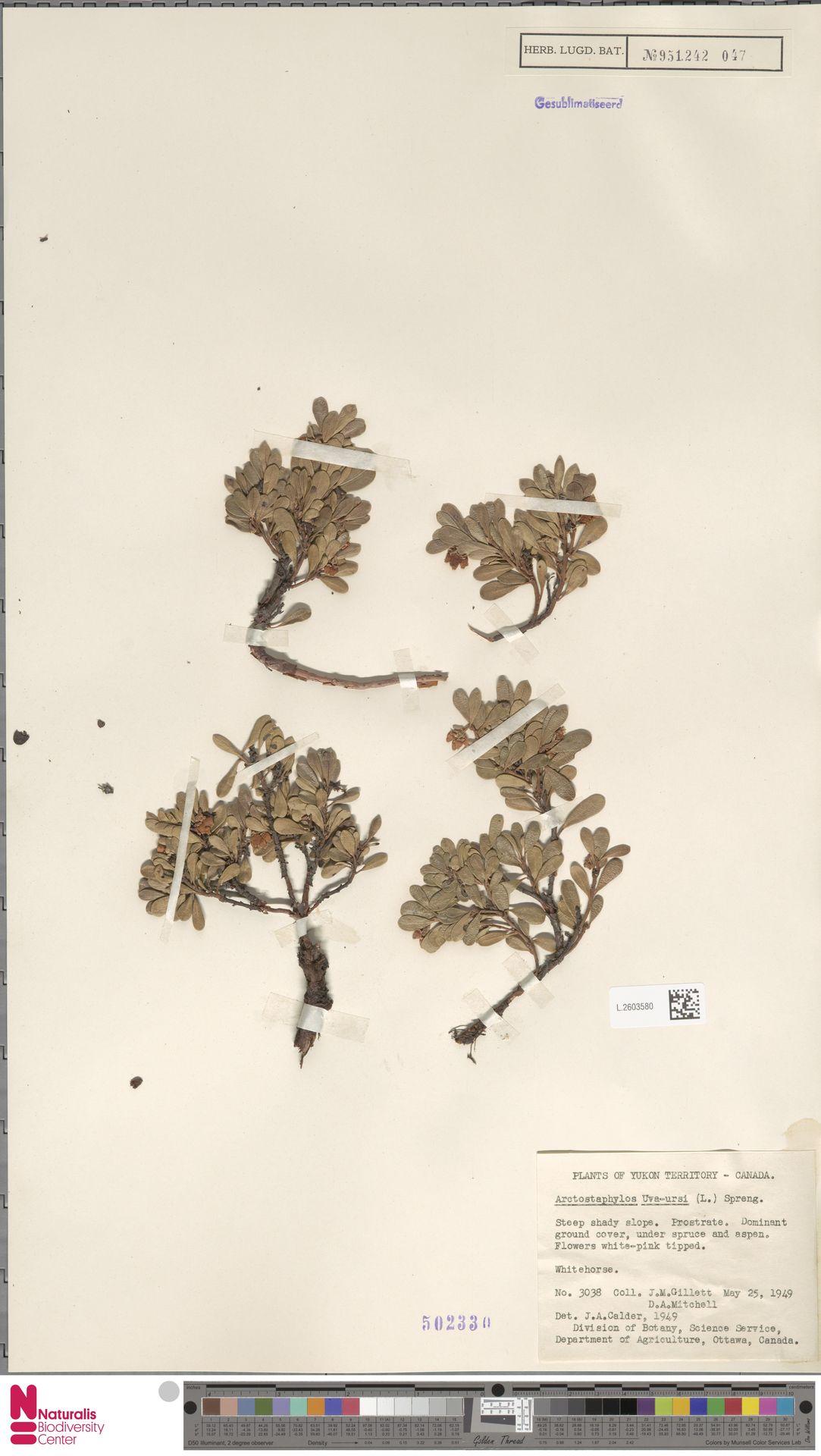 L.2603580 | Arctostaphylos uva-ursi (L.) Spreng.