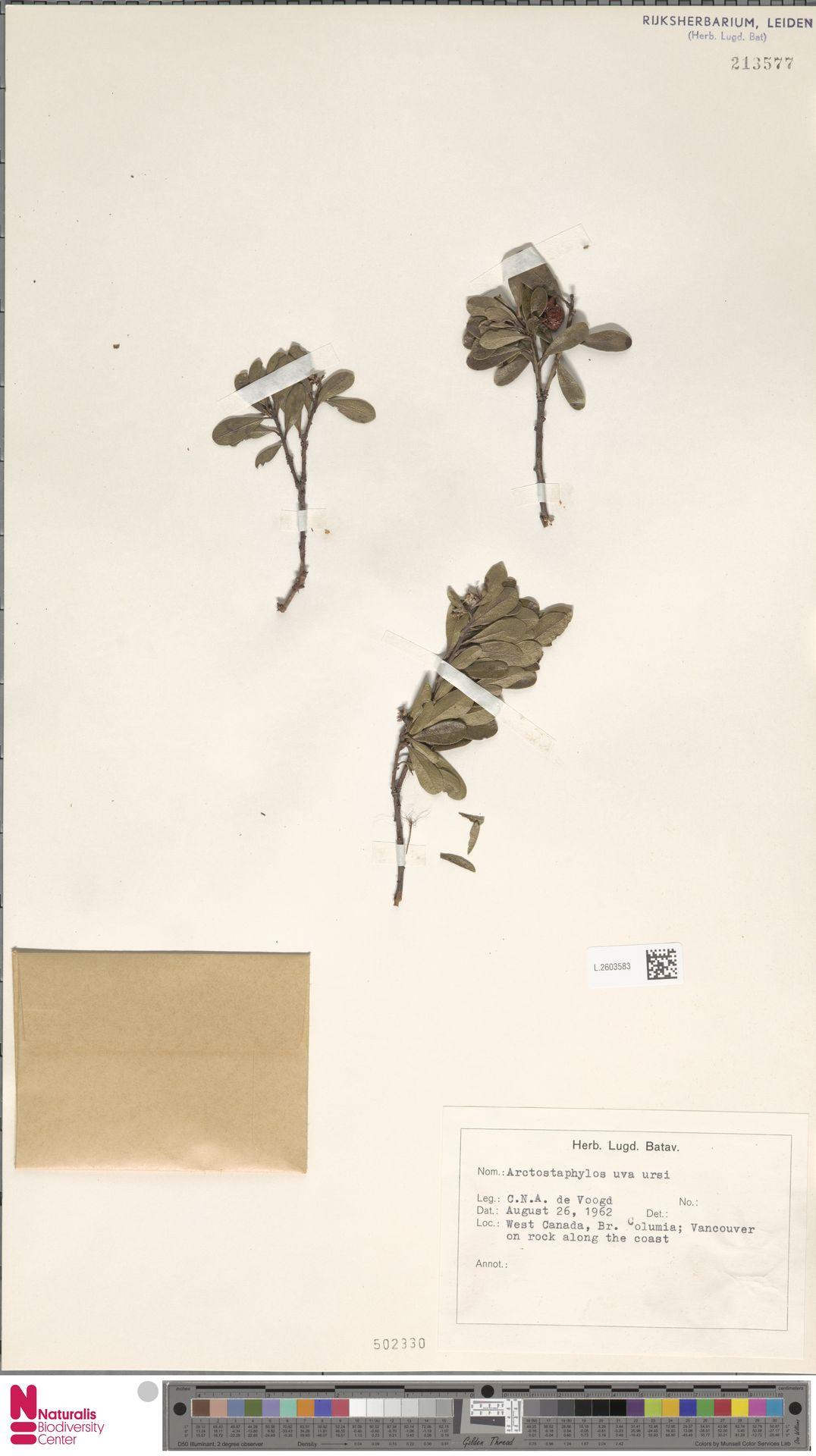 L.2603583 | Arctostaphylos uva-ursi (L.) Spreng.