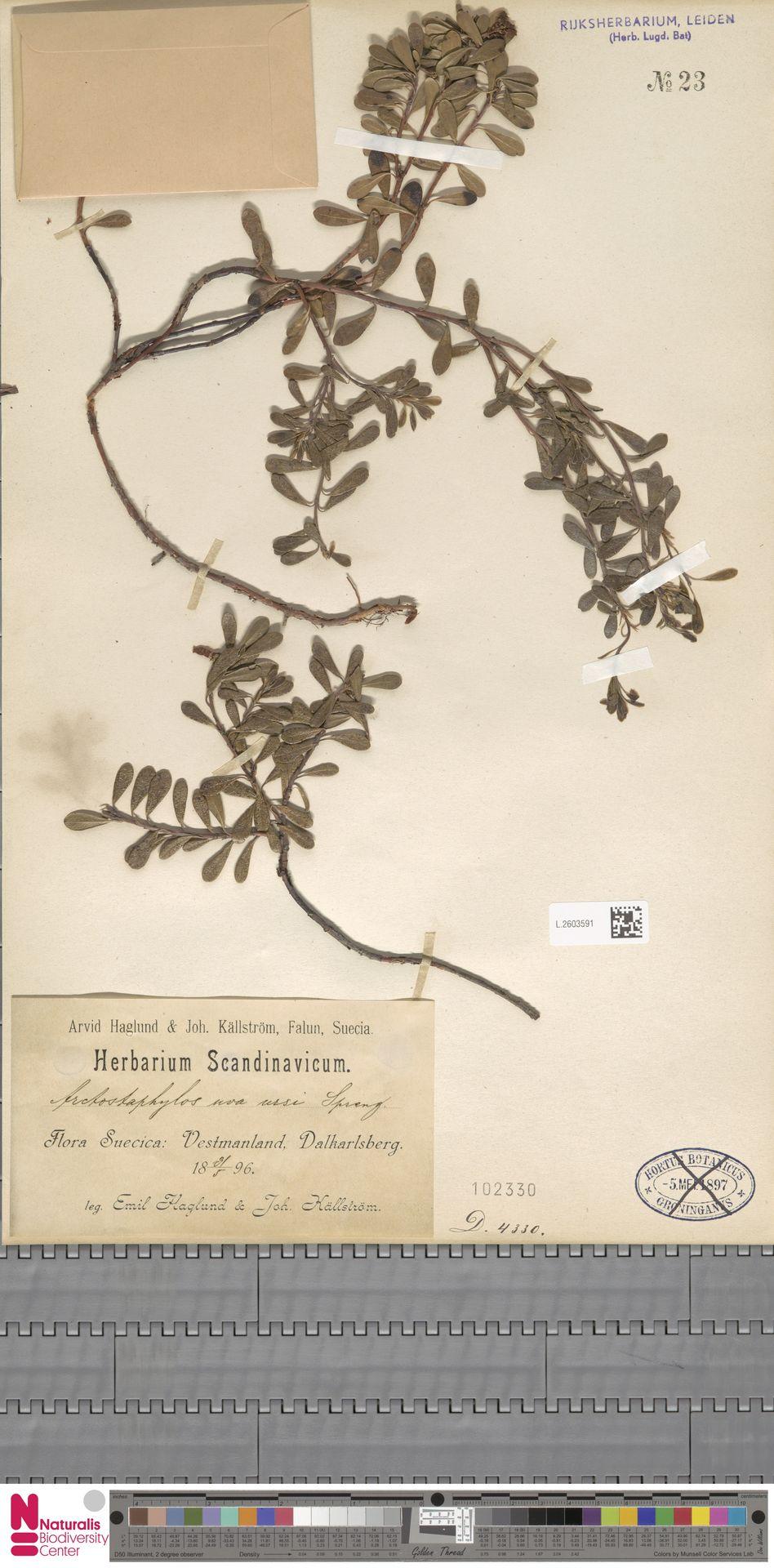 L.2603591 | Arctostaphylos uva-ursi (L.) Spreng.